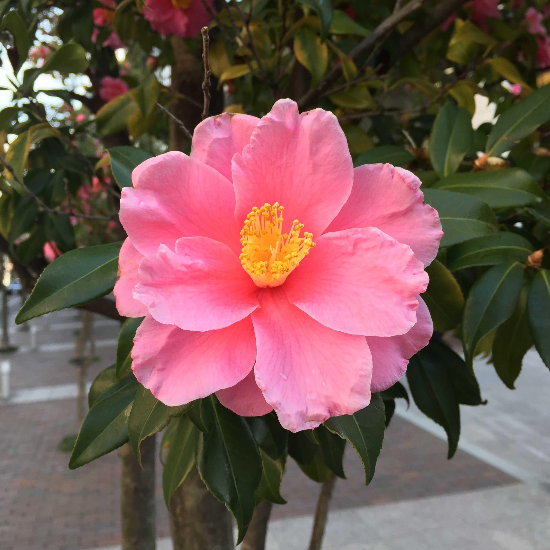 ピンク色のカンツバキ(ハルサザンカの笑顔)