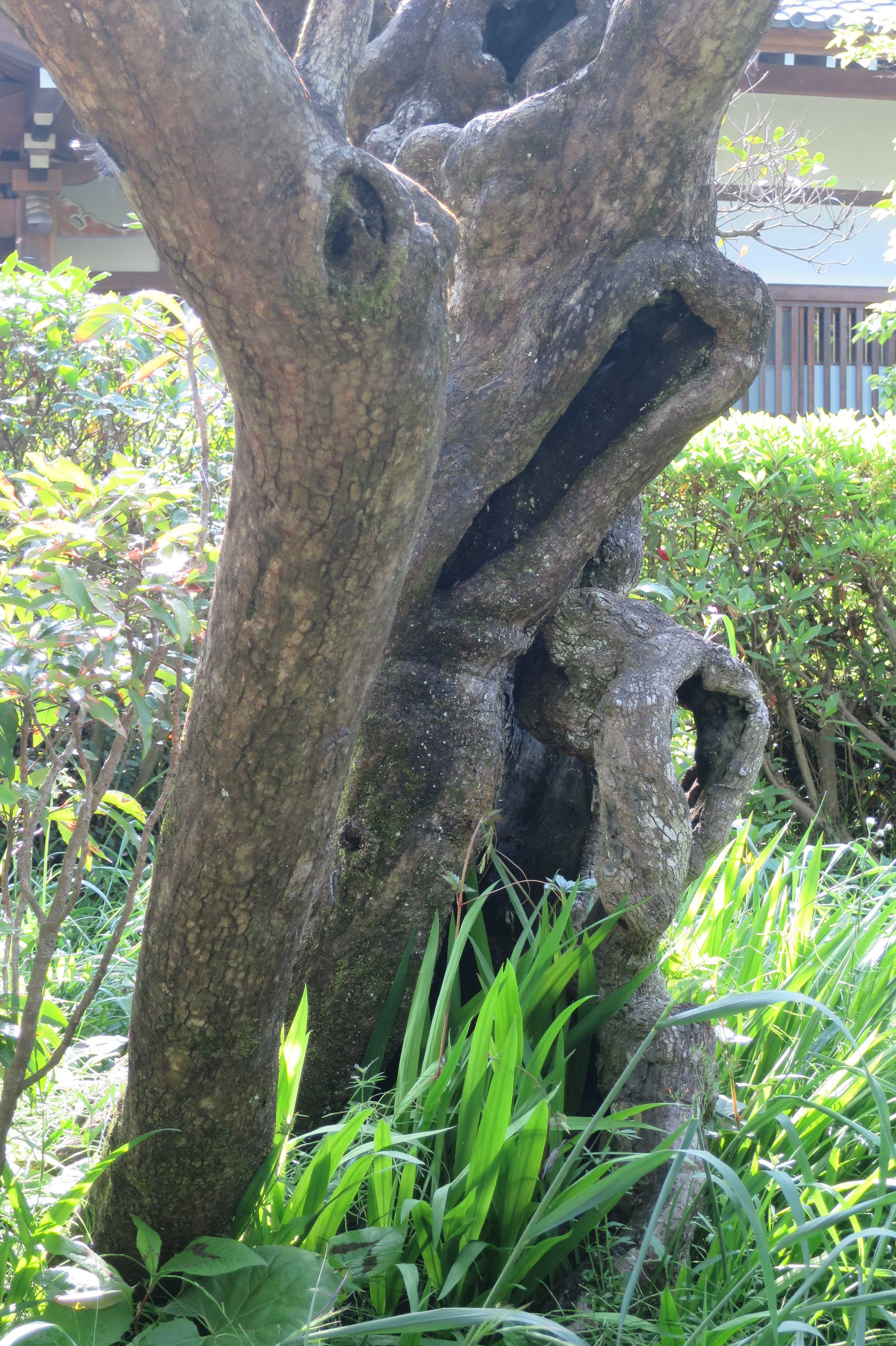 禅寺丸柿の原木 - 王禅寺