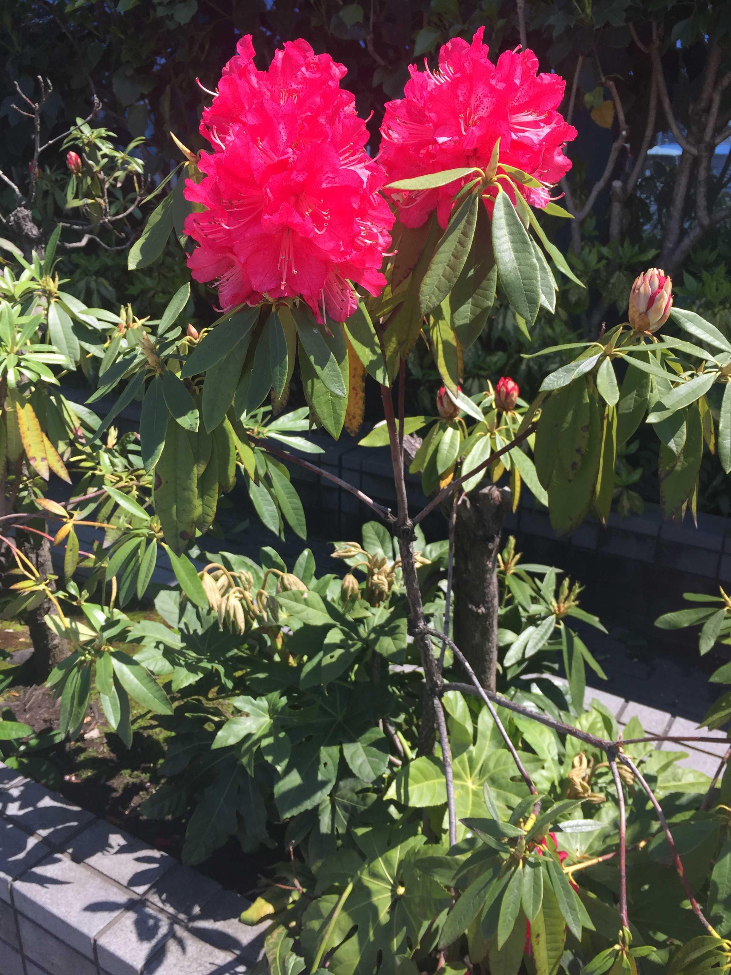 真っ赤な石楠花(シャクナゲ)