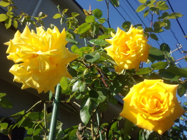 八王子の黄色いバラ(The Yellow Rose of Hachioji)