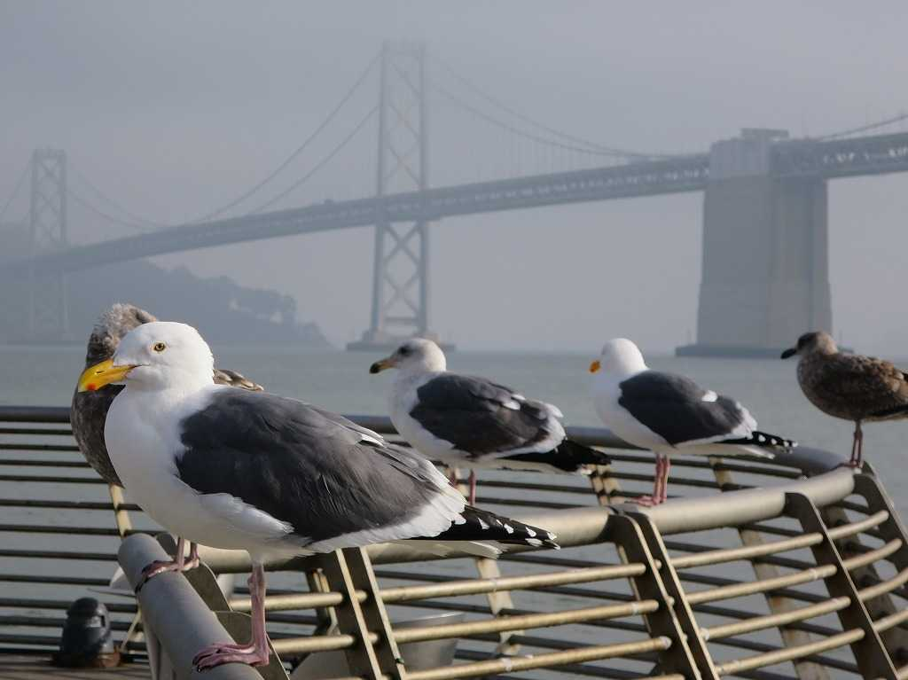 サンフランシスコ湾の鴎