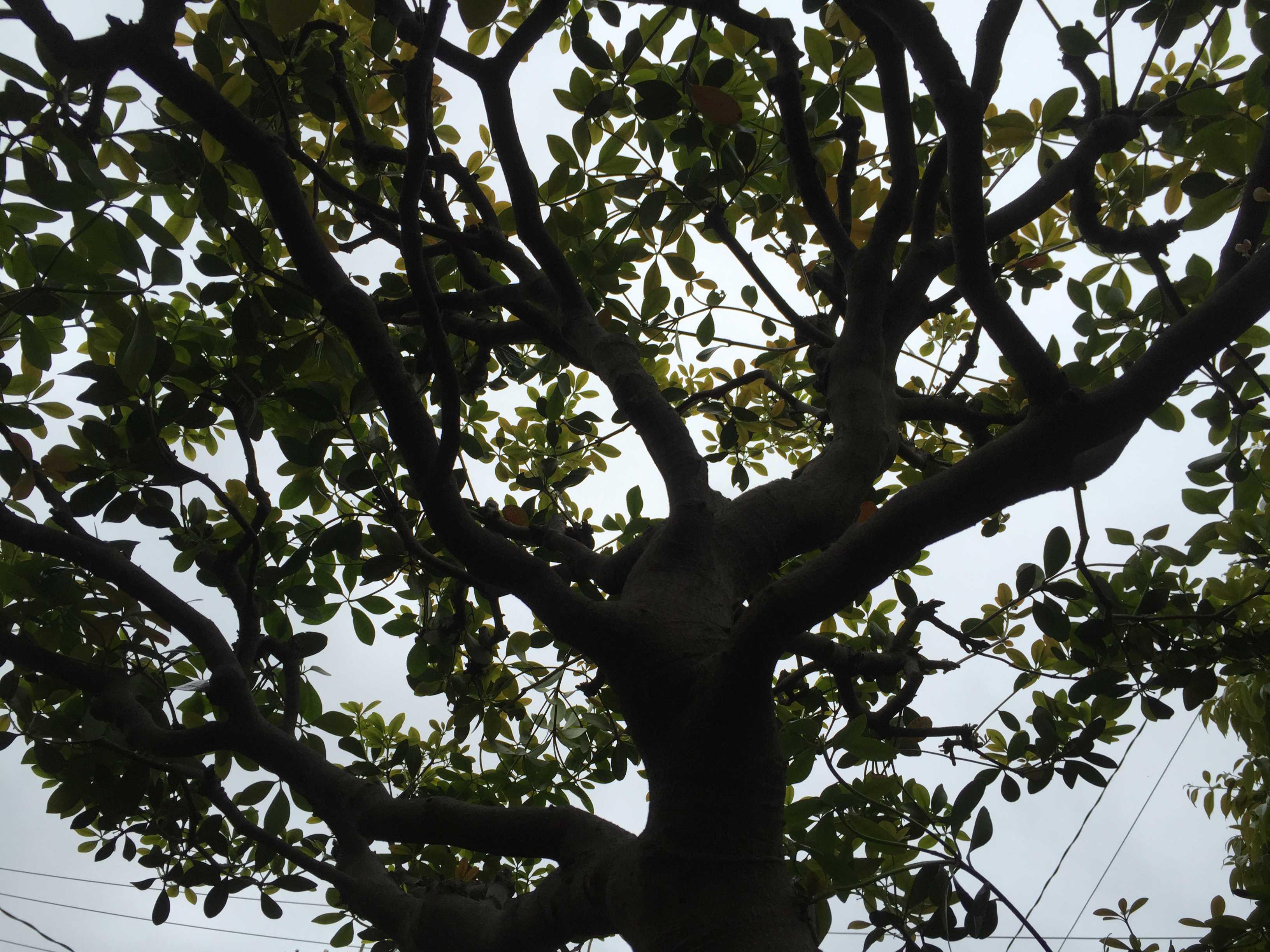 江戸五木の一つ「モッコク」