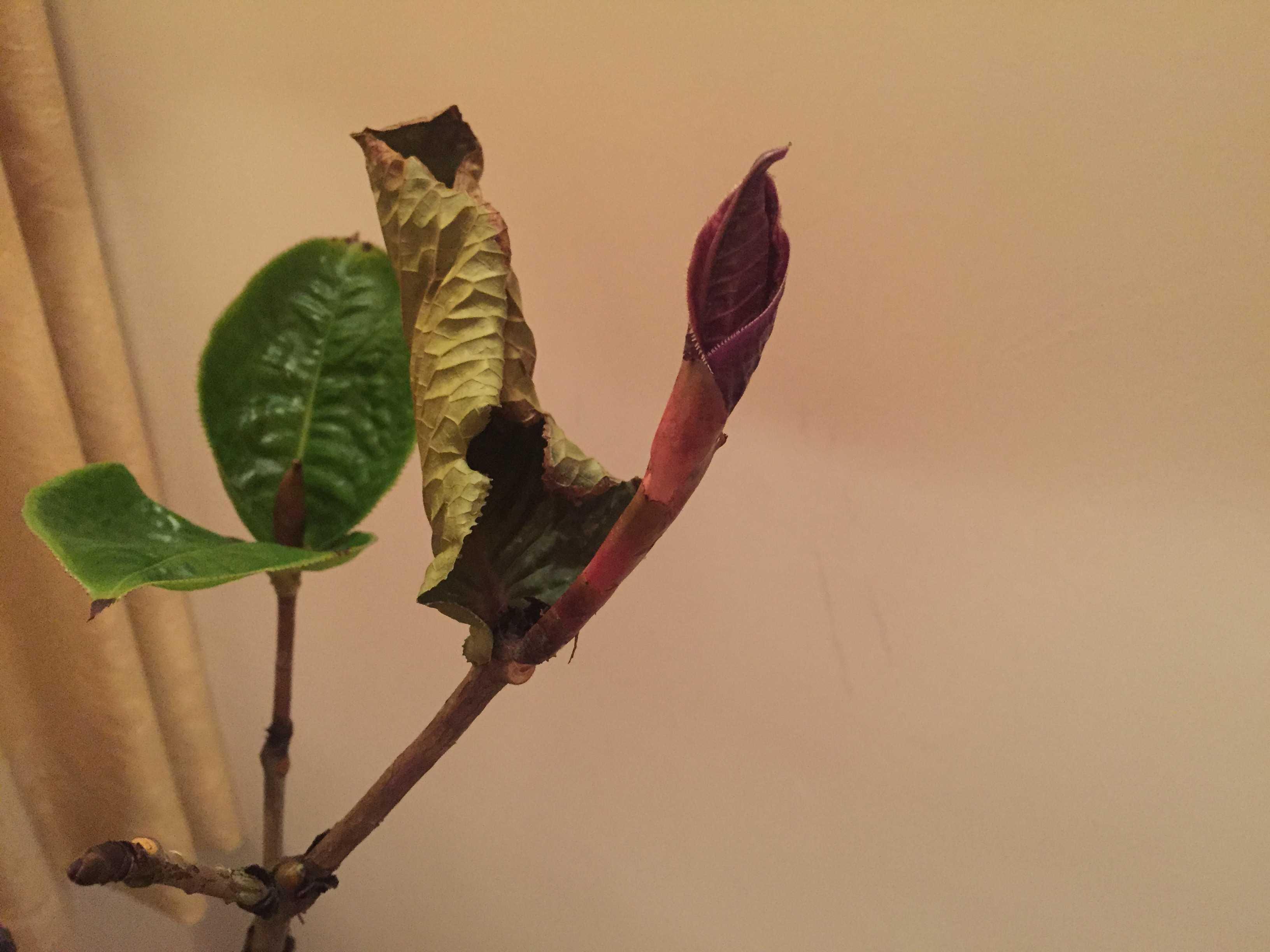 「ムラウチイ」の葉芽