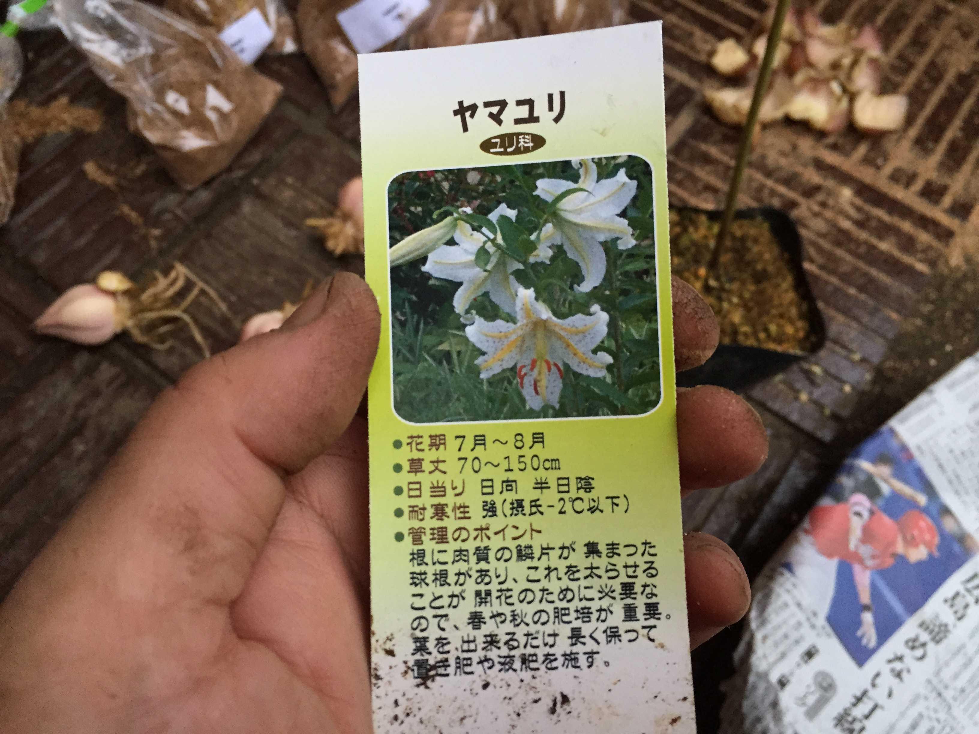 ヤマユリの鱗片定植 - ヤマユリ(ユリ科)とは?