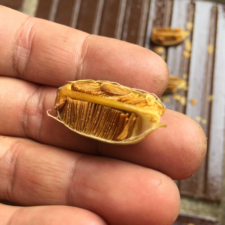 ヤマユリの種子繁殖/実生 -