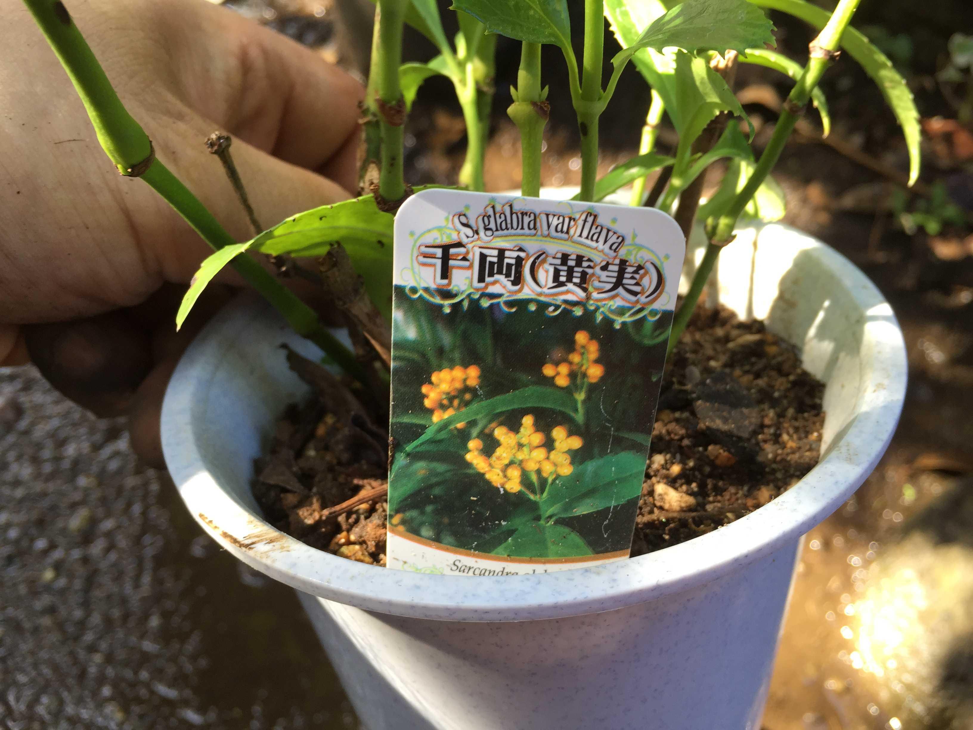 黄実の千両(キミノセンリョウ) のネームプレート/プランツネーム - Sarcandra glabra f. flava