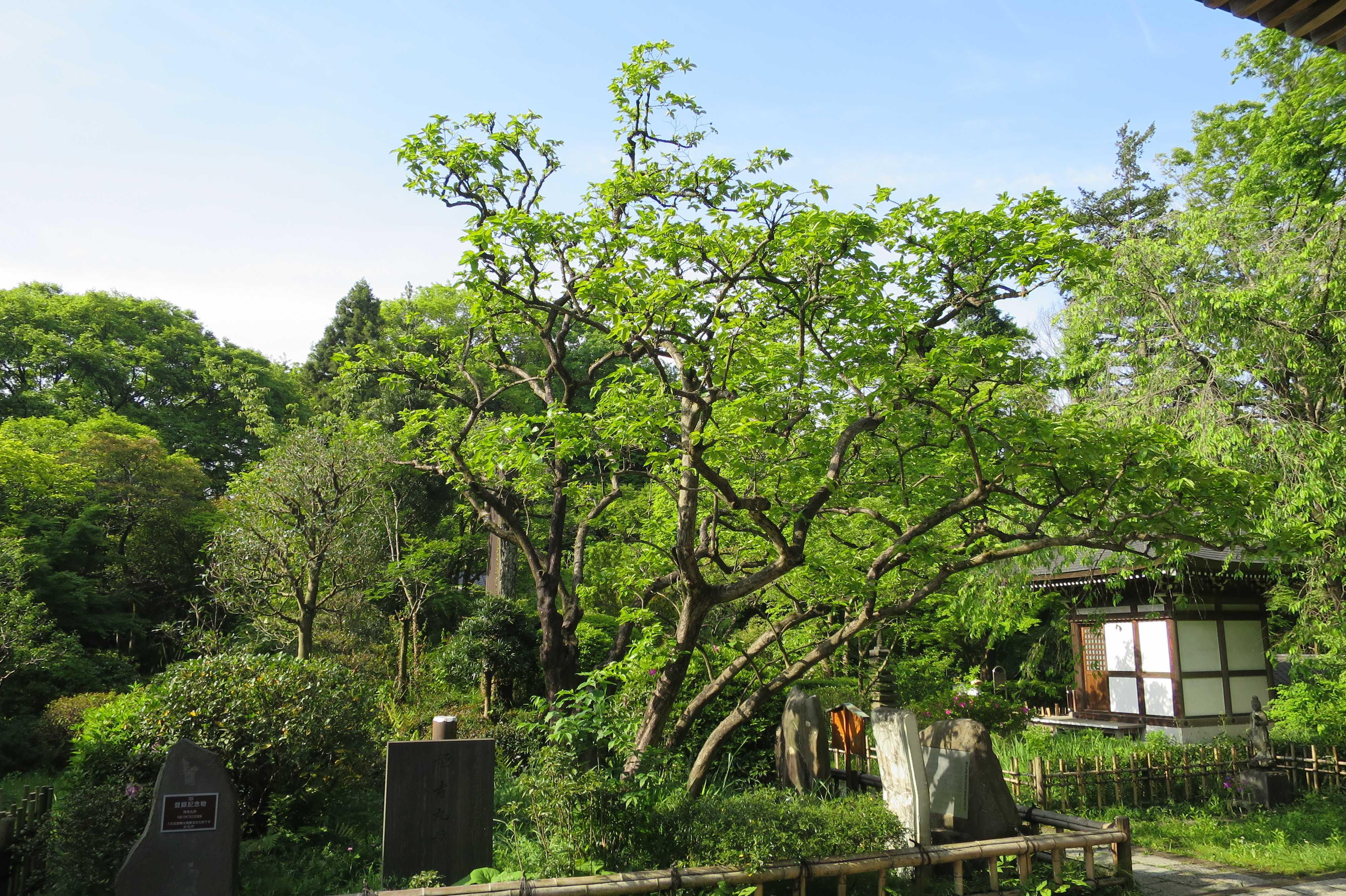 横から見た禅寺丸柿の原木