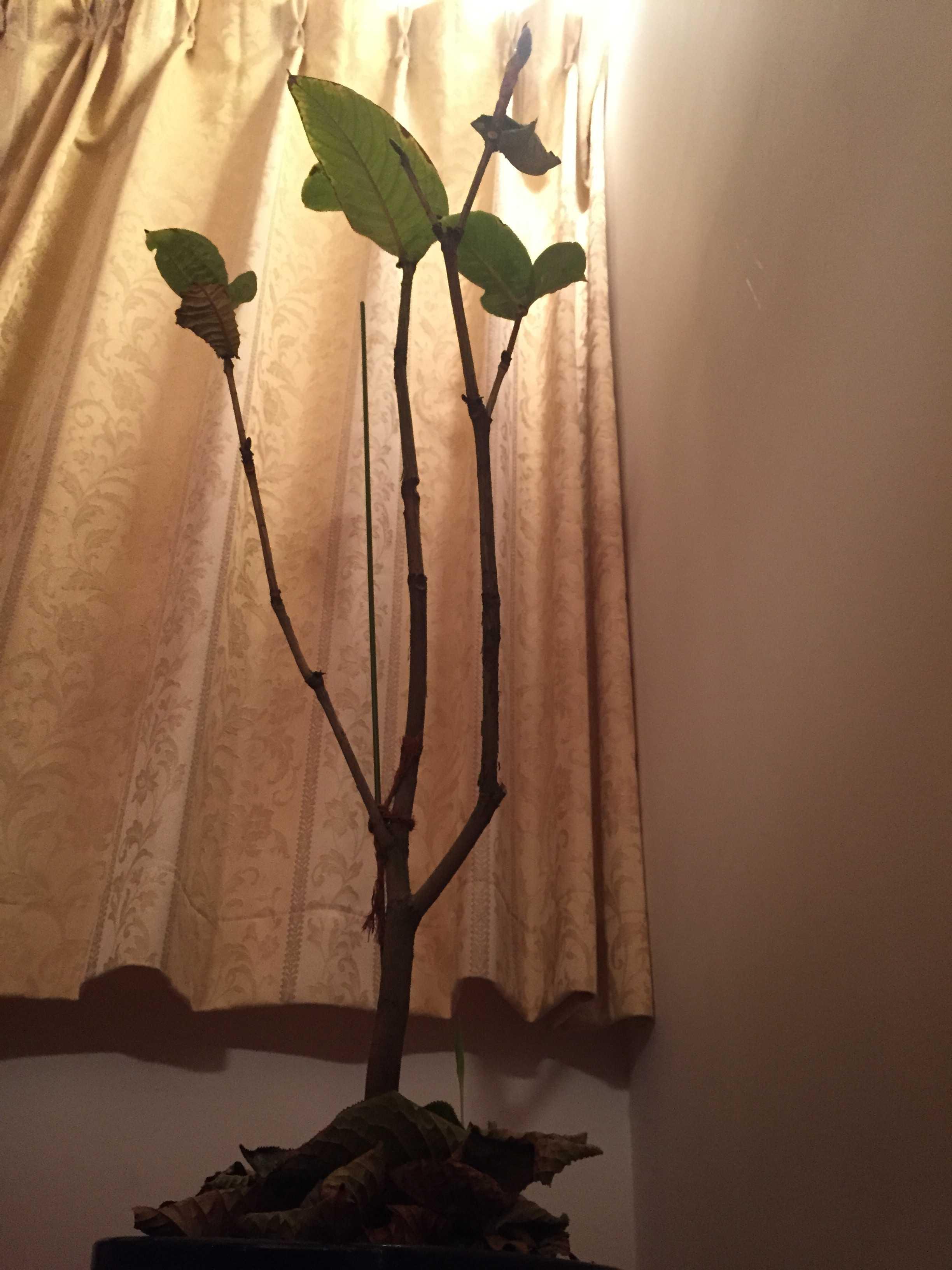 ベトナム産原種椿「ムラウチイ」