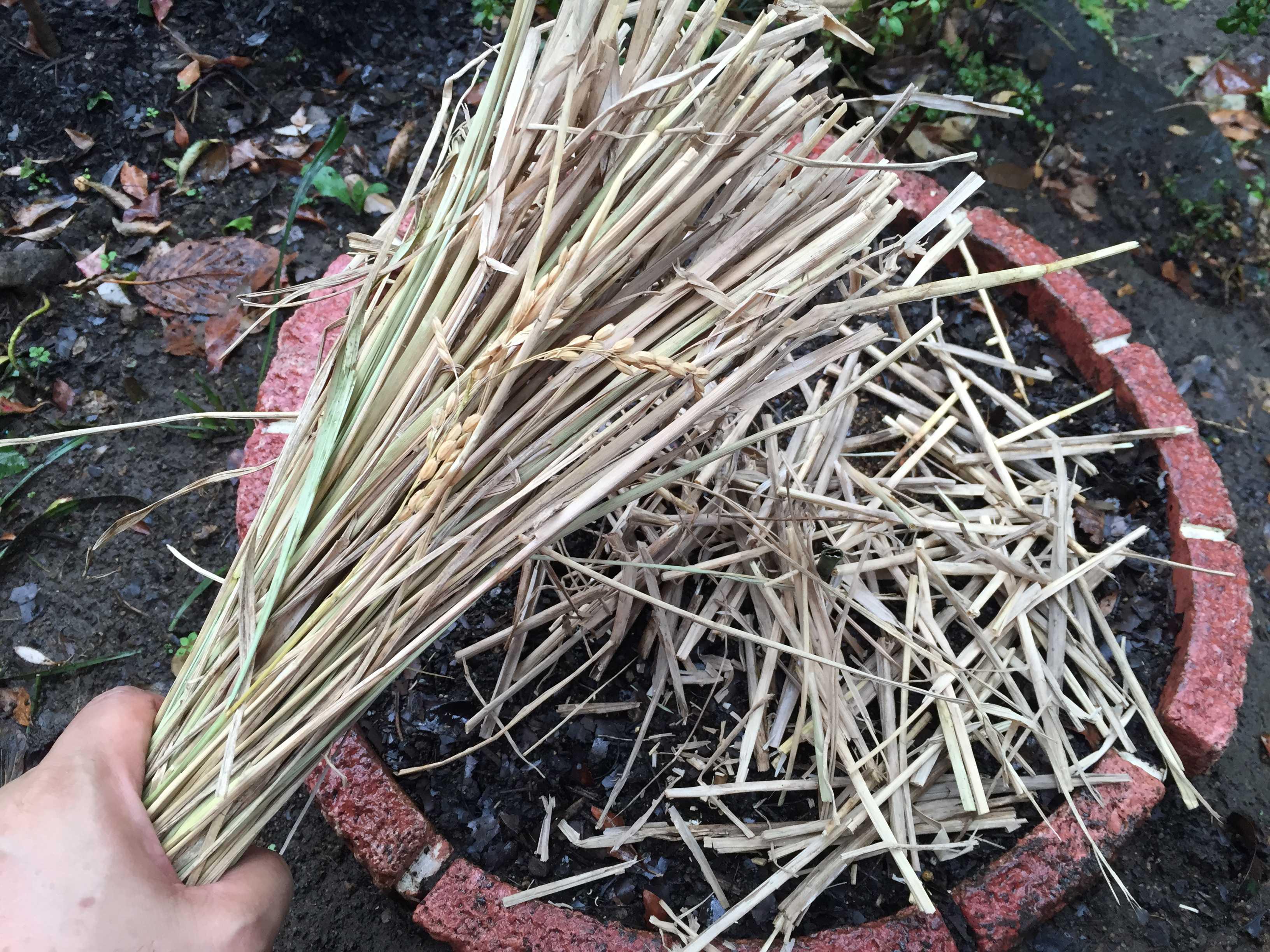 ヤマユリの冬越し(マルチング)のための敷き藁