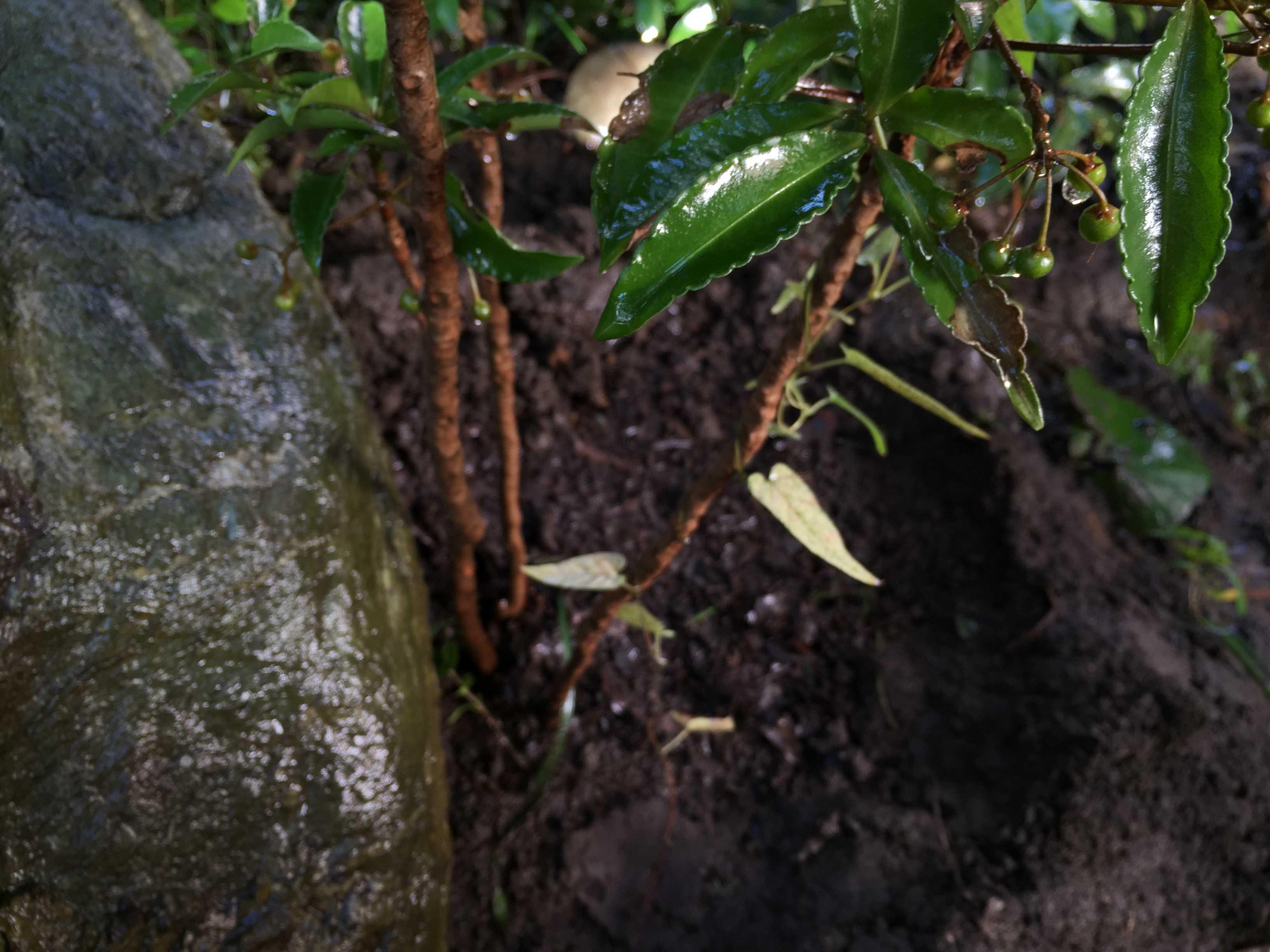 万両(マンリョウ)の植え穴と腐葉土