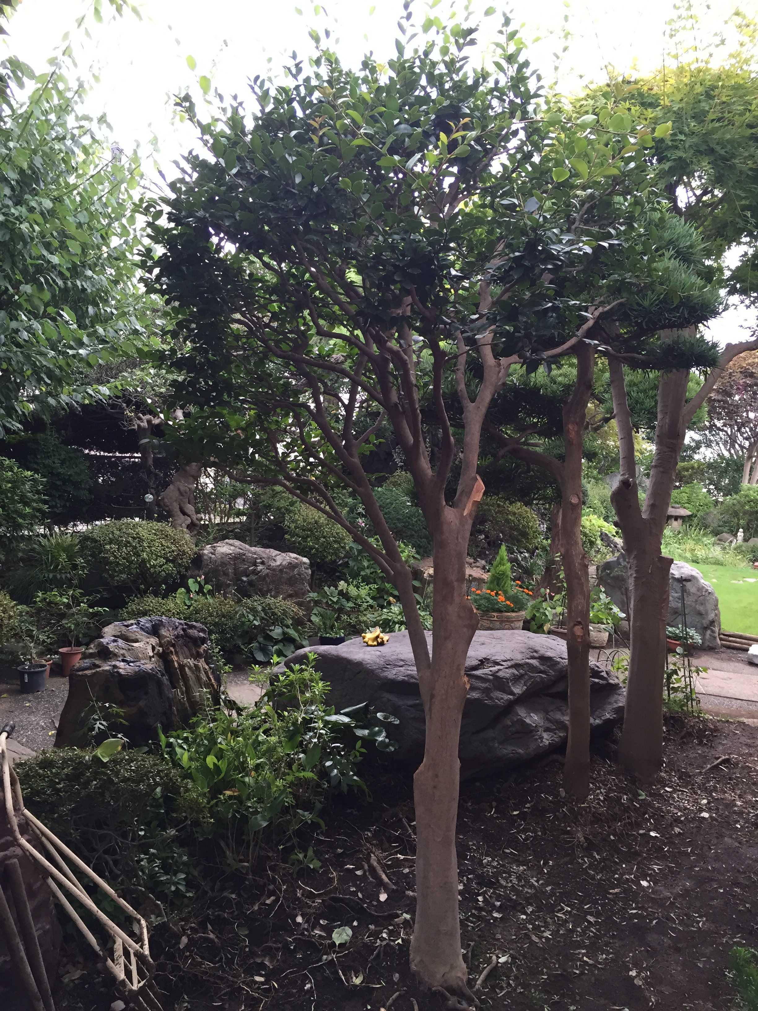 伐採(根元から樹木を切り倒す作業)する椿の木