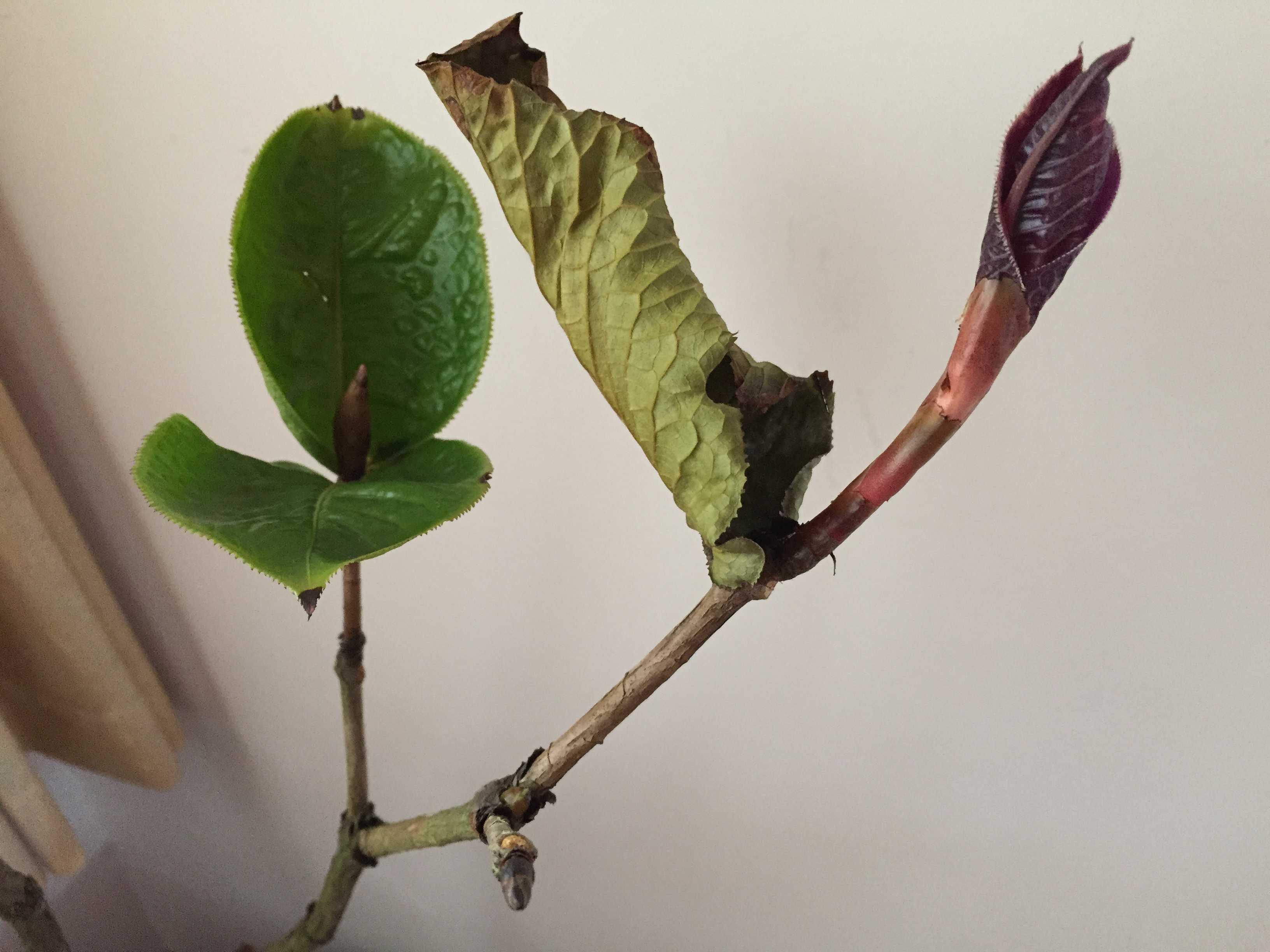 ベトナム産原種椿「ムラウチイ」の葉