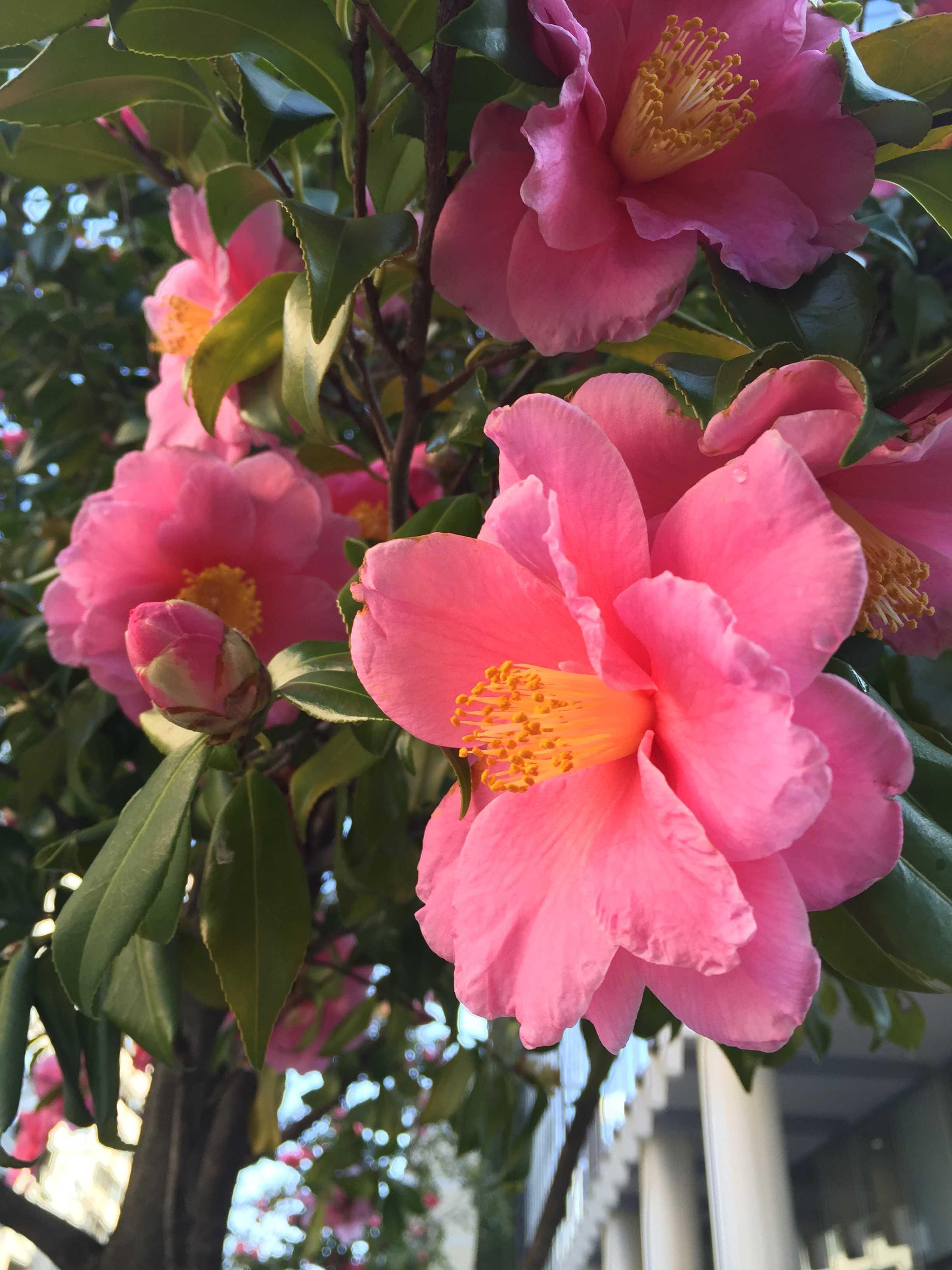 ピンク色の寒椿(ハルサザンカの笑顔)