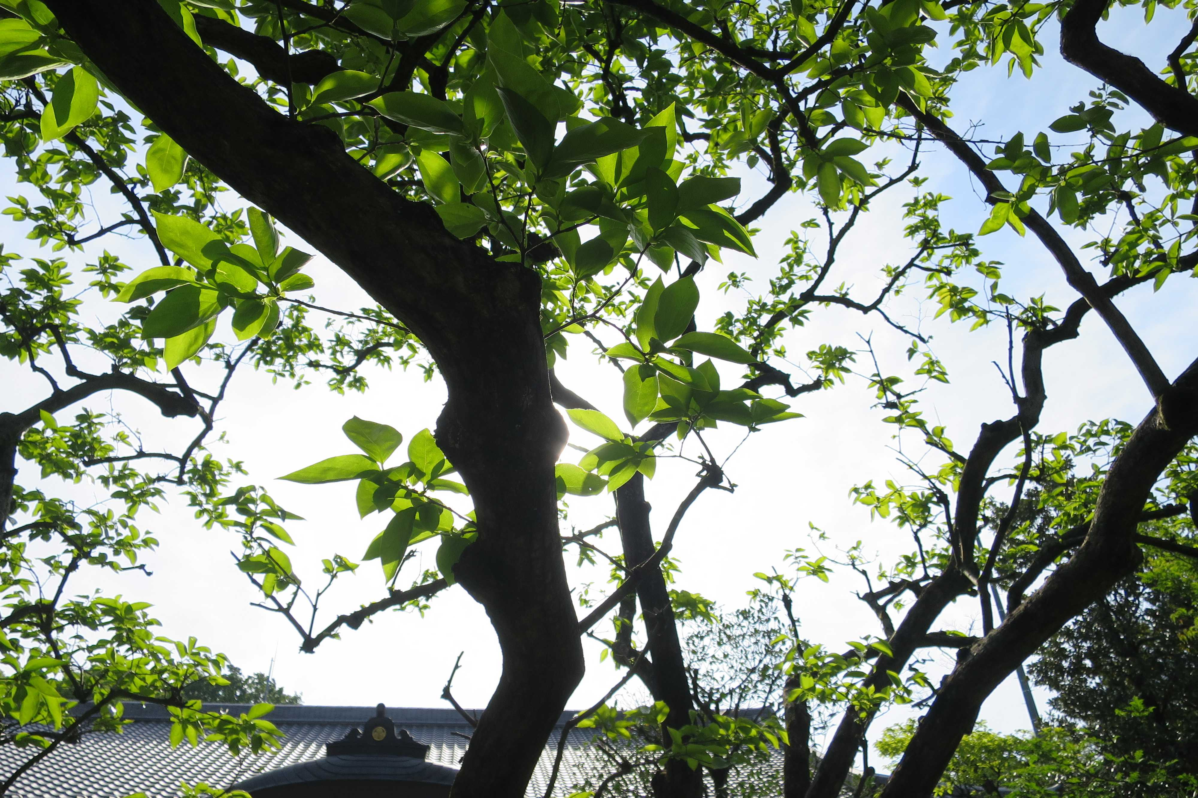 柿の若葉の緑と幹の黒