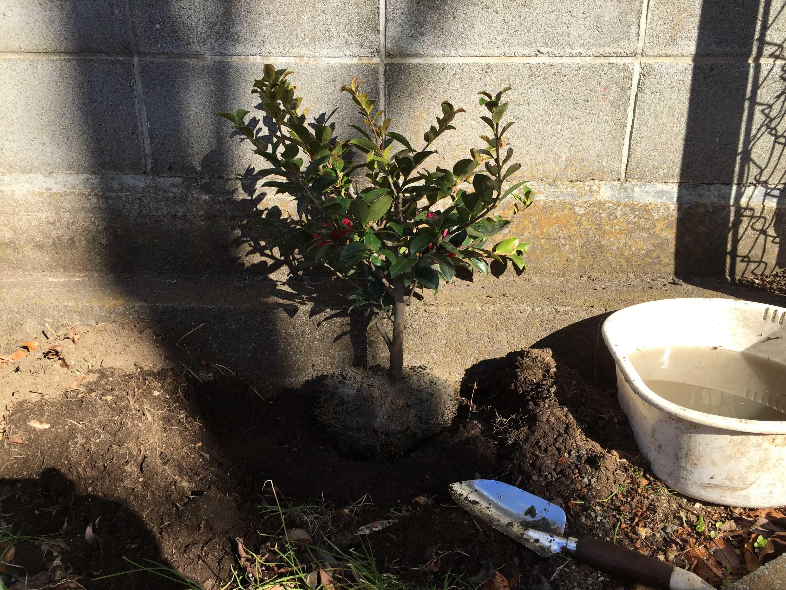 ハイカンツバキ(這い寒椿)の植え付け