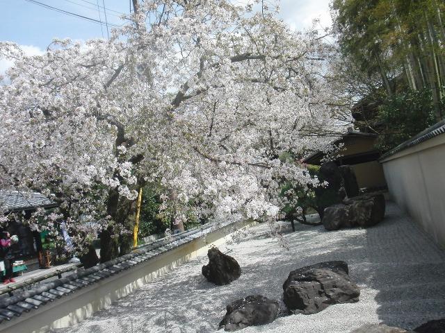 嵐山の路地に咲く桜