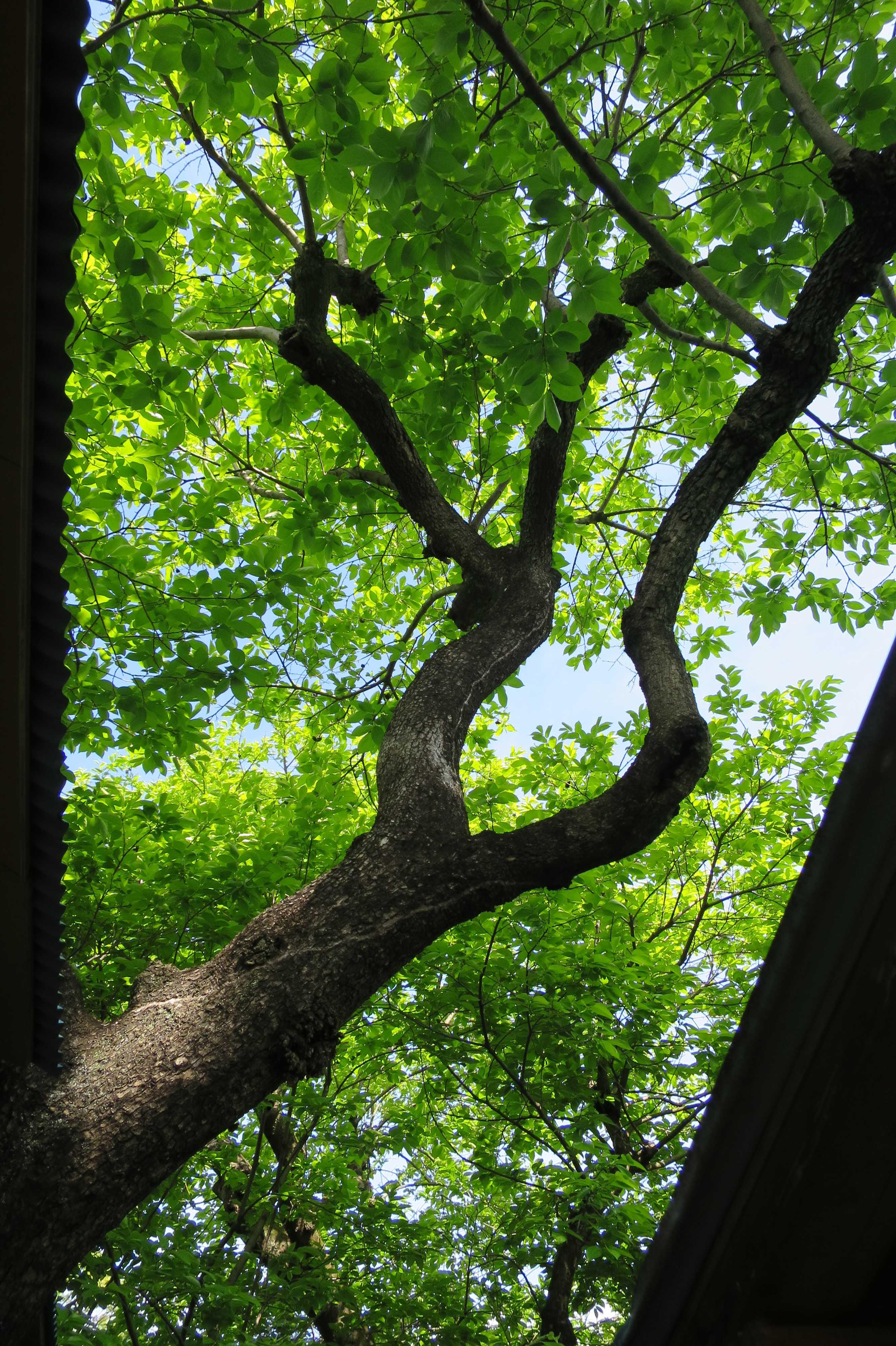 禅寺丸柿の木と葉
