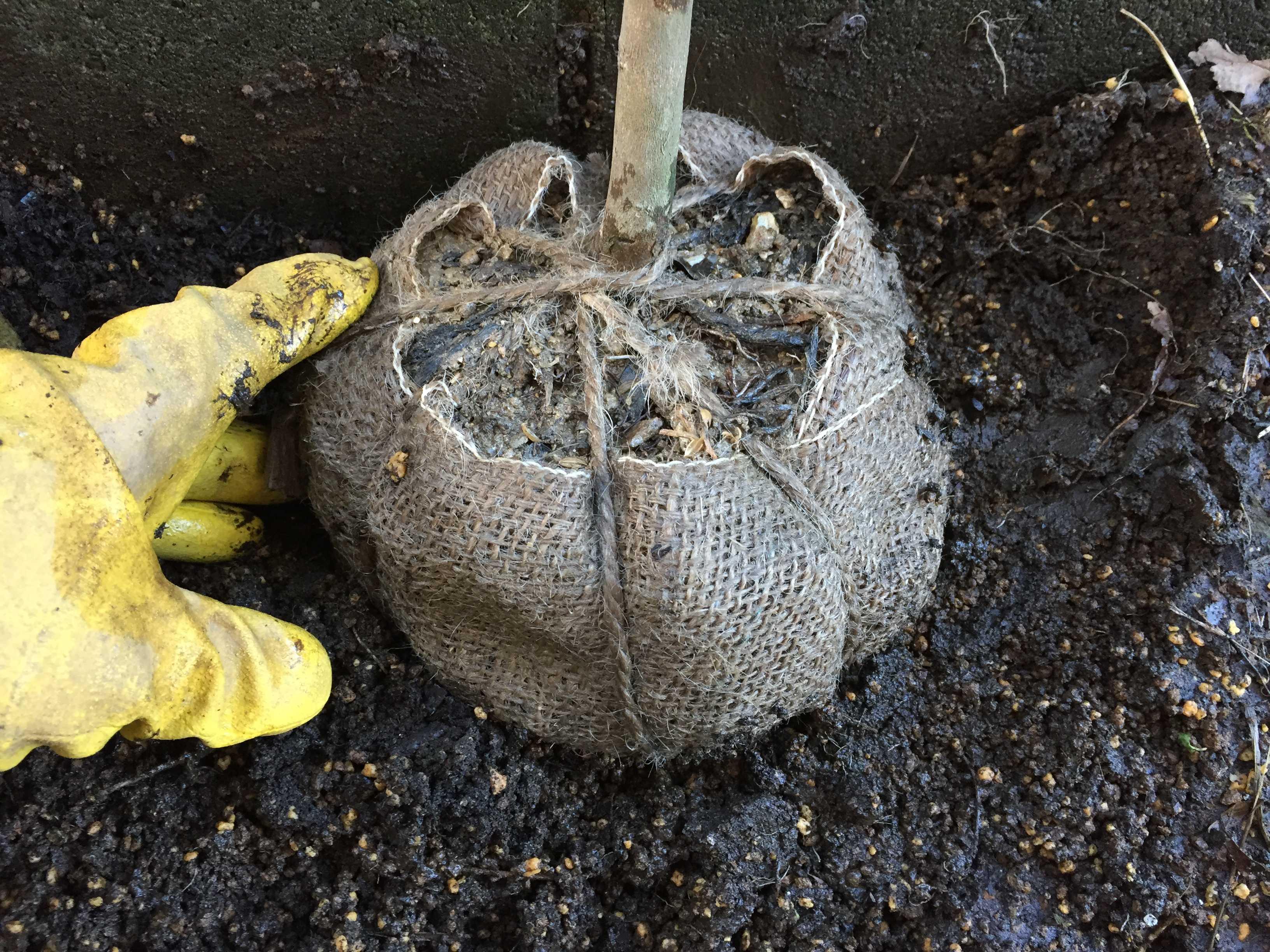 台湾椿「ゴードニア」の根巻き苗