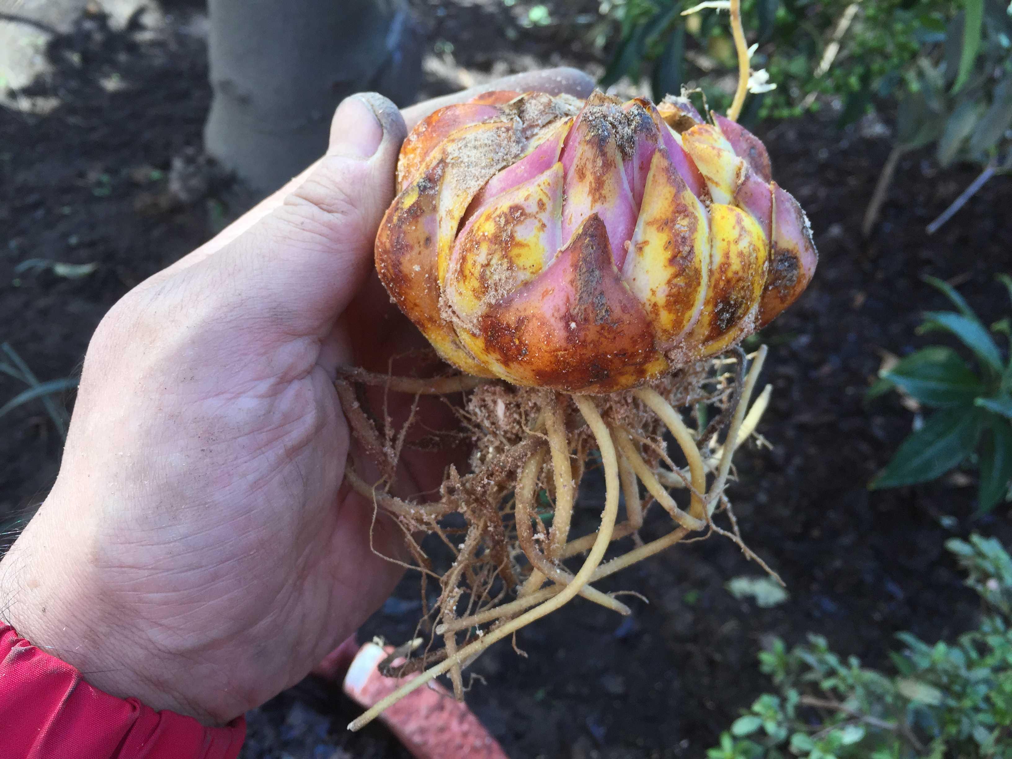 ヤマユリの球根を大量植え付け、庭が「ヤマユリ群生地」に