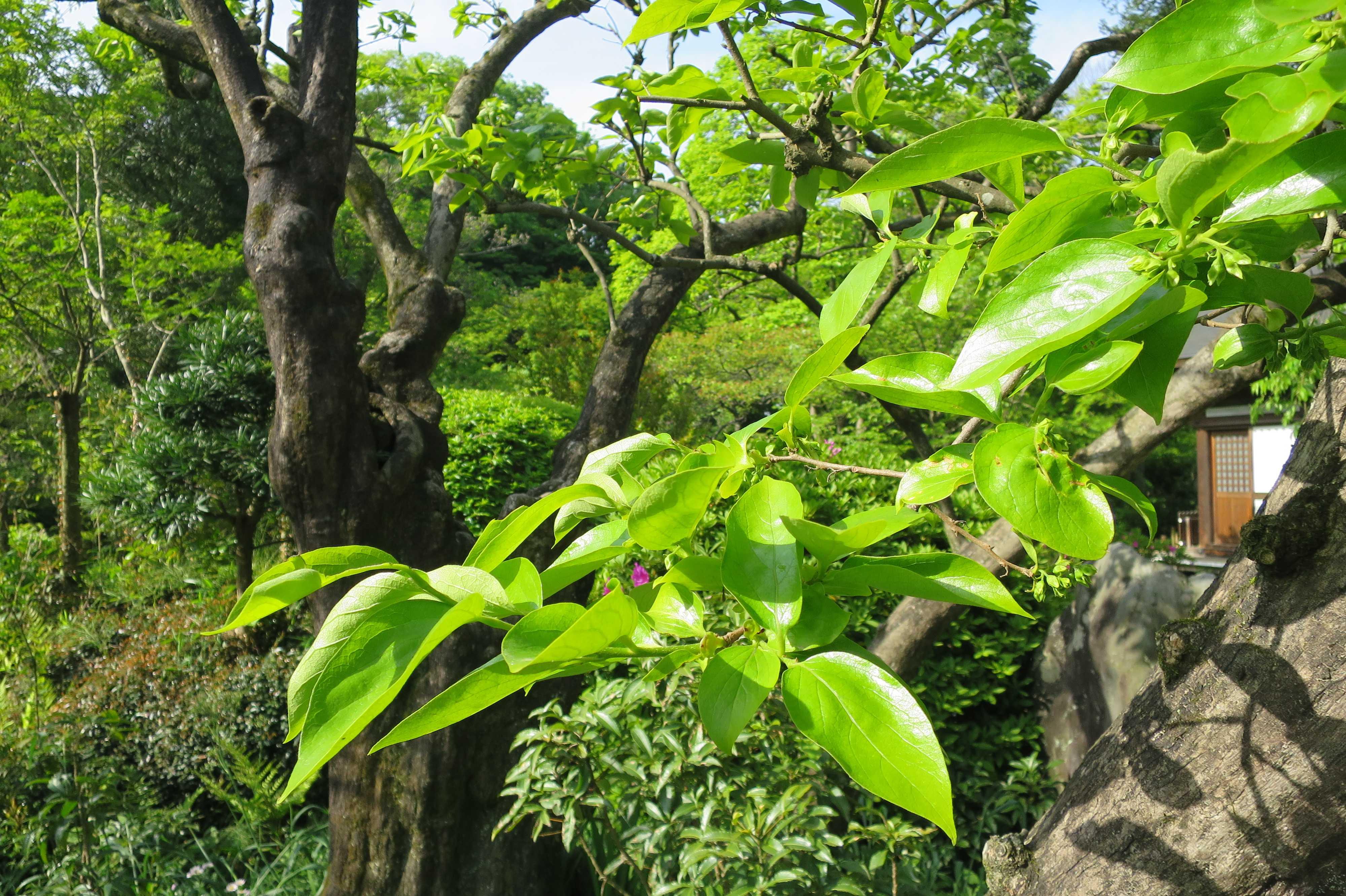 柿若葉の緑色