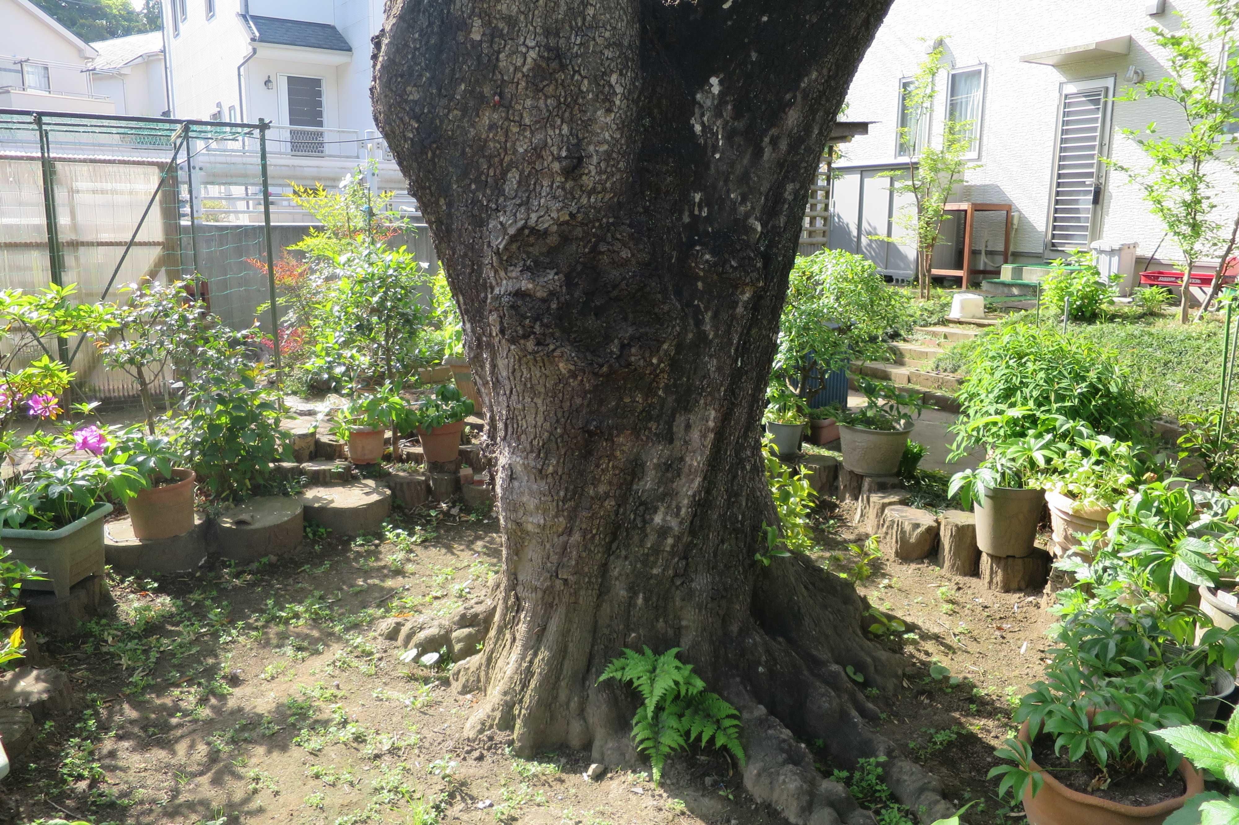 岡上の禅寺丸柿の根元