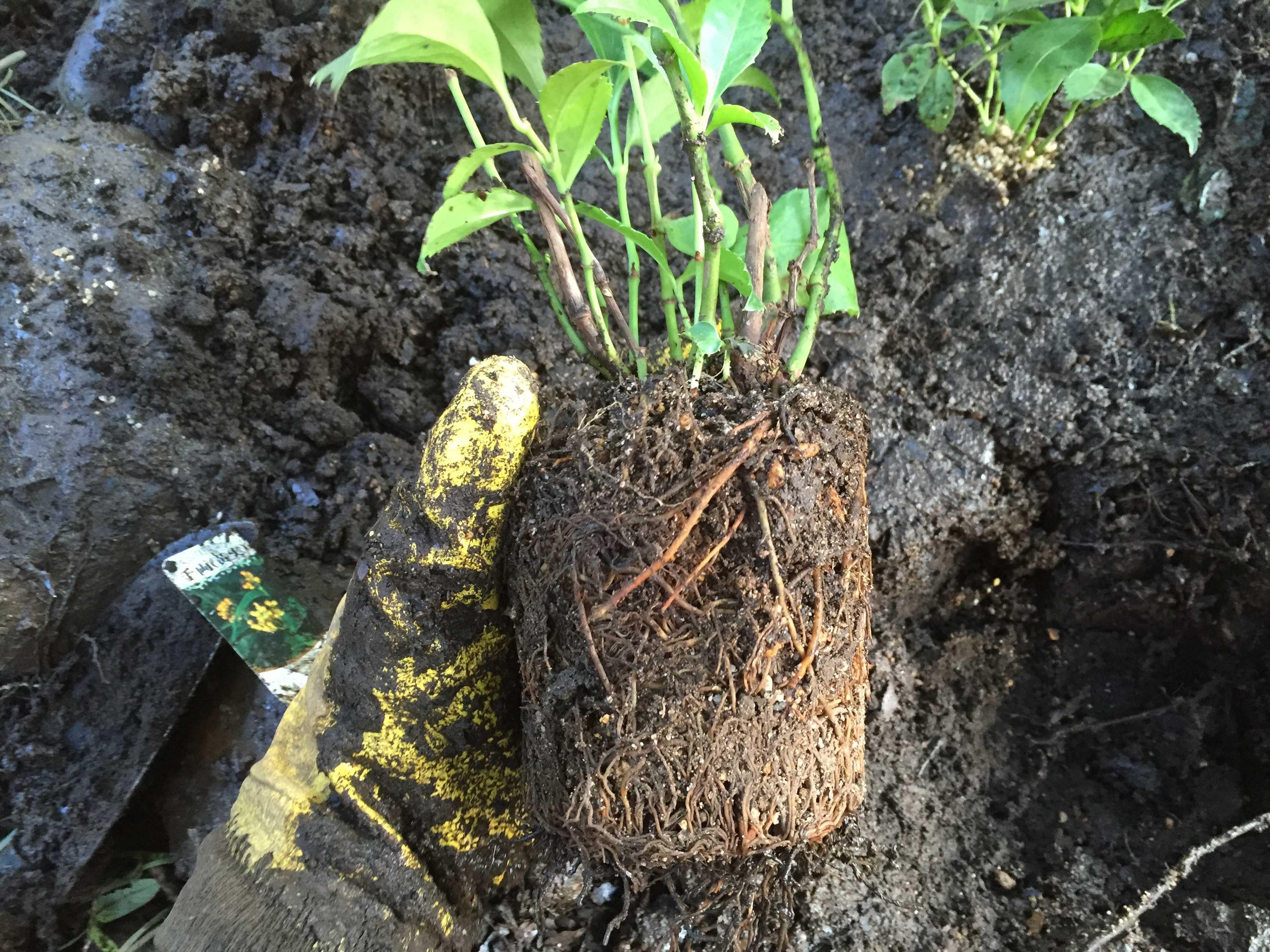 黄実の千両(キミノセンリョウ) の植え付け - 根鉢