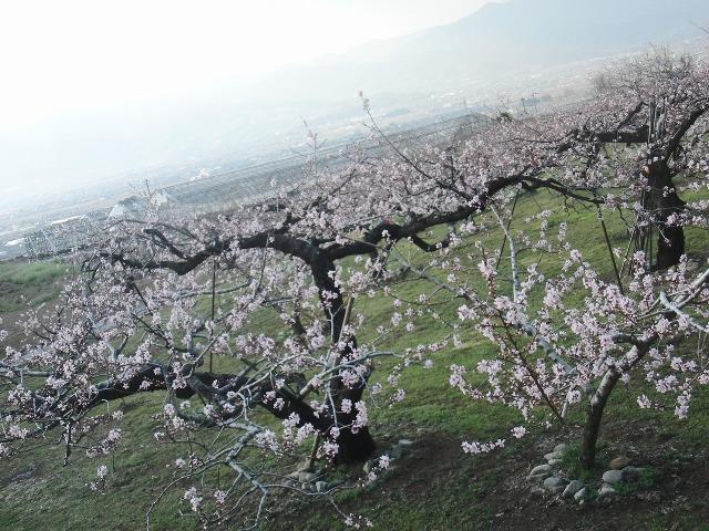 春の山梨の桃園