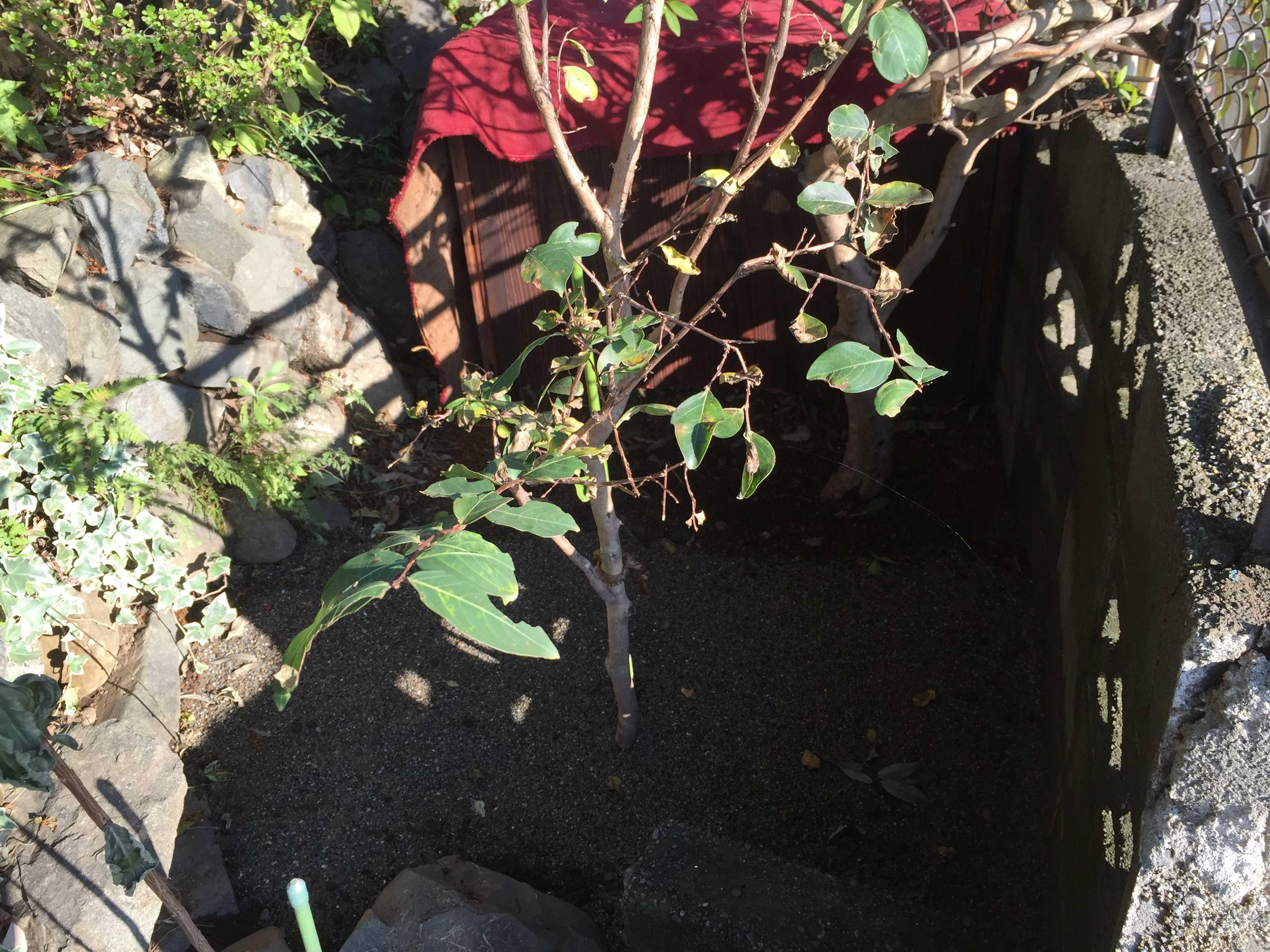 強烈に西日が当たる場所 - やまゆりの球根の植え付け