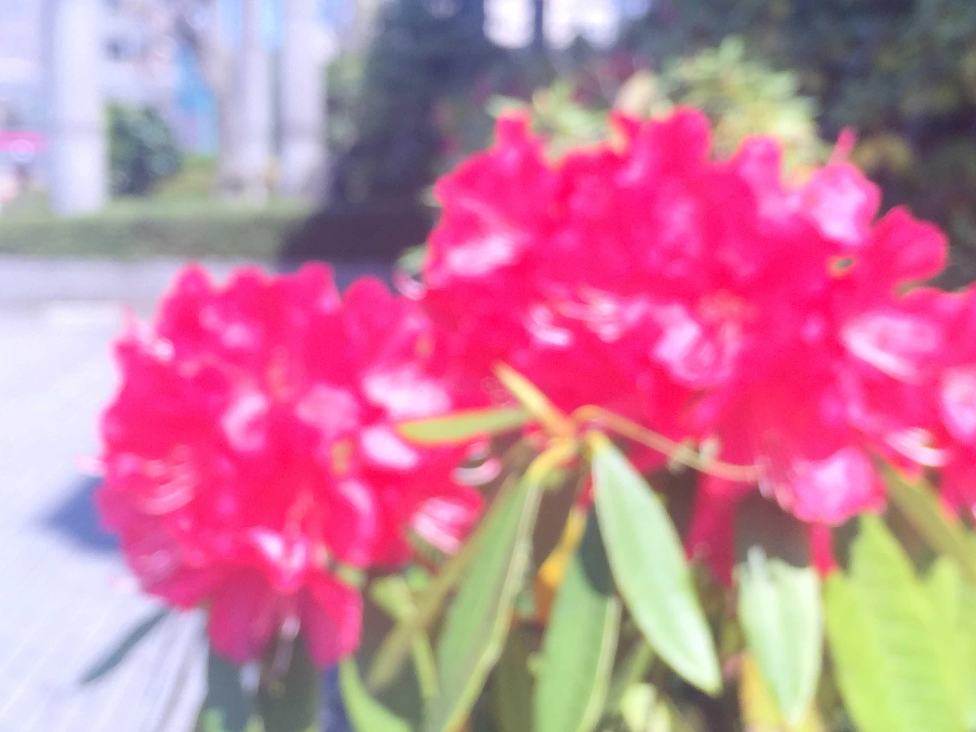 石楠花(しゃくなげ)の花