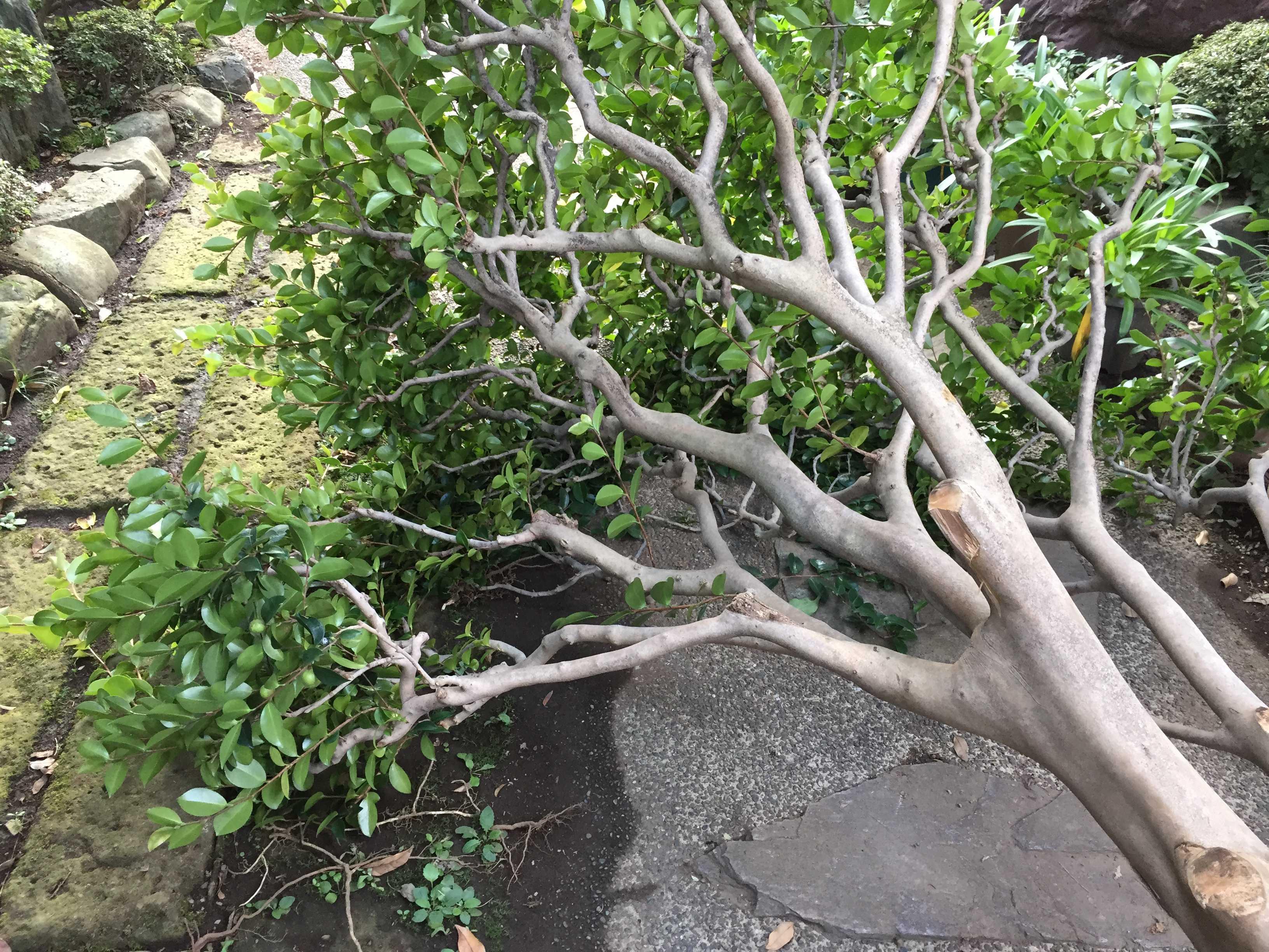 倒木の枝払い