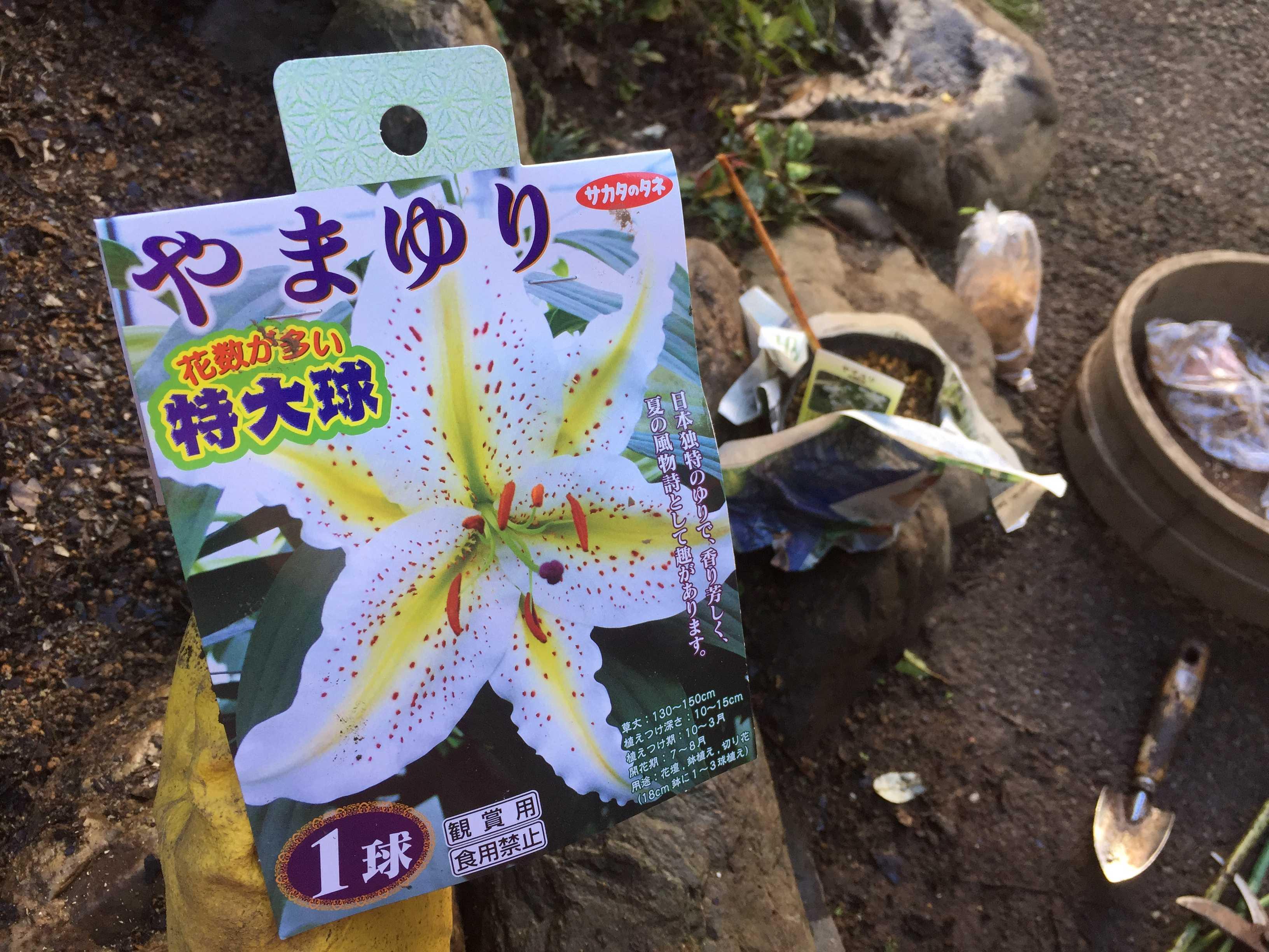 ヤマユリの球根植え付け - 花数が多い特大球