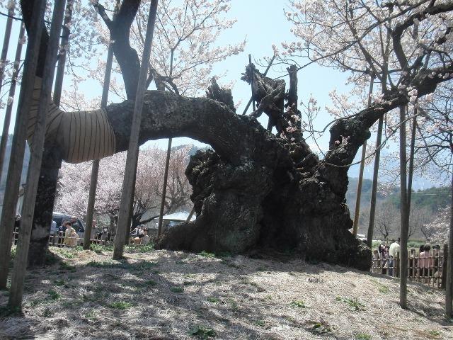 神々しい山高神代桜