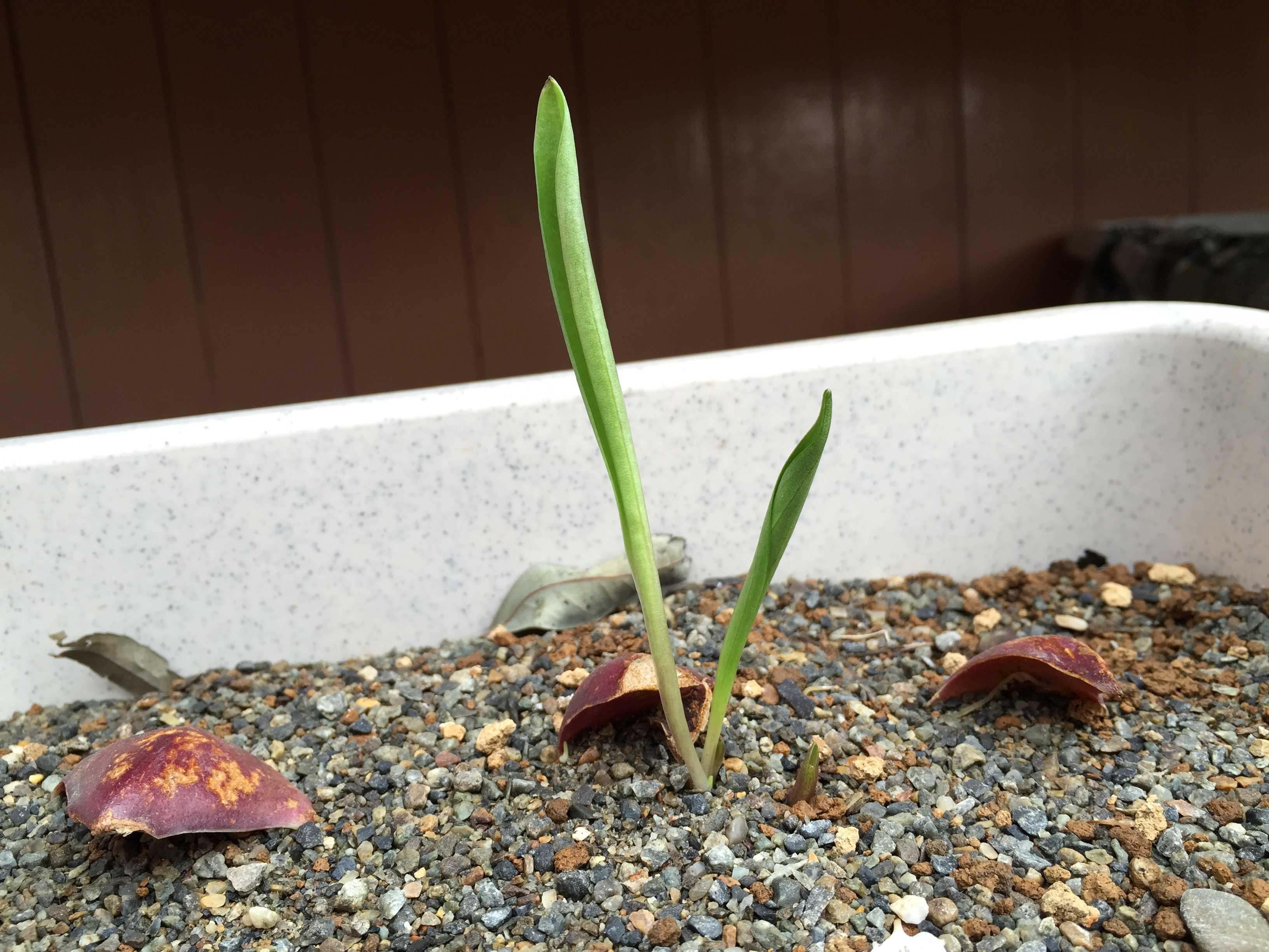 鱗片挿しでのヤマユリの発芽