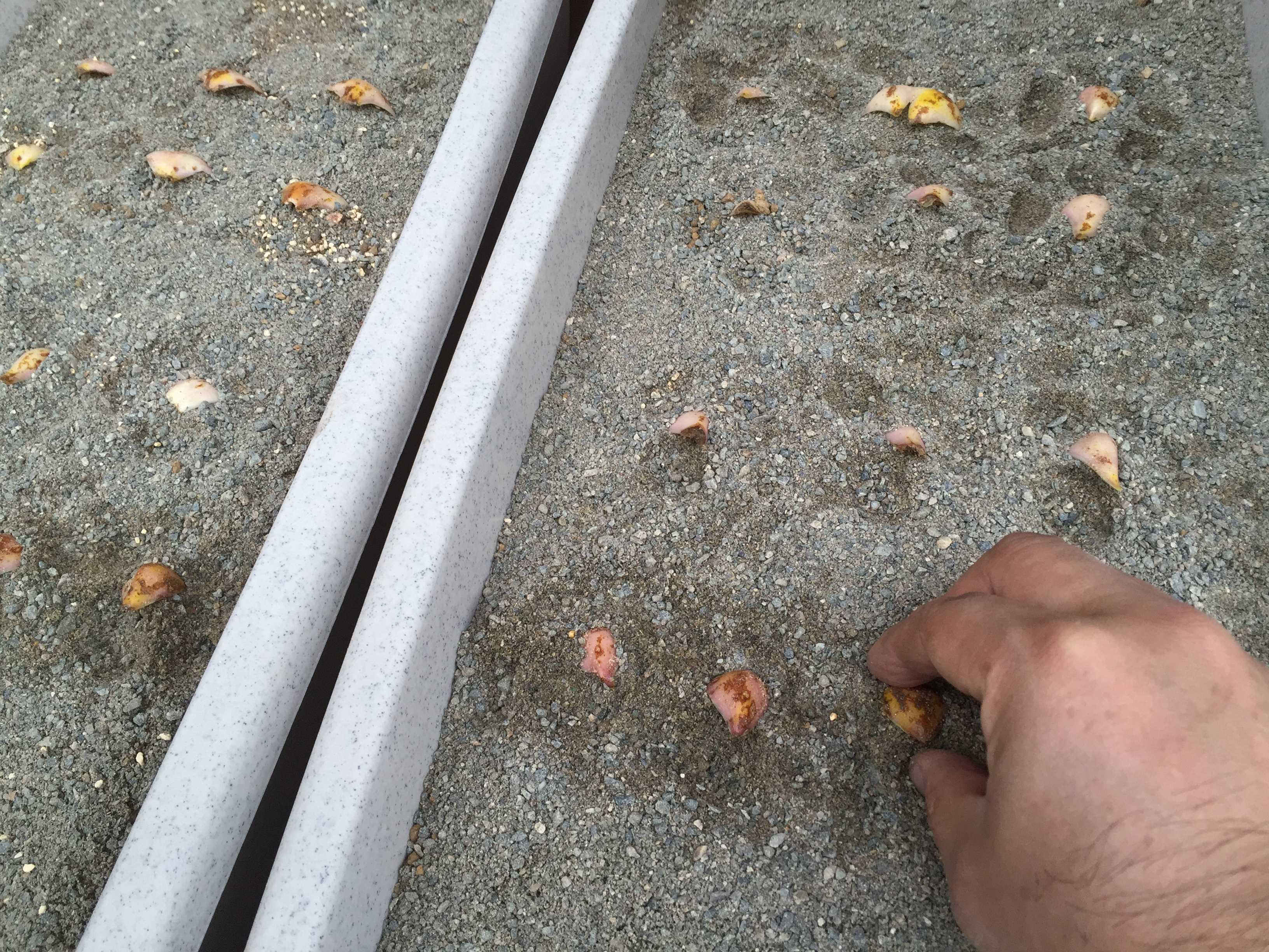 ヤマユリの鱗片を砂に挿す