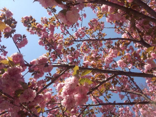 靖国神社の満開の桜