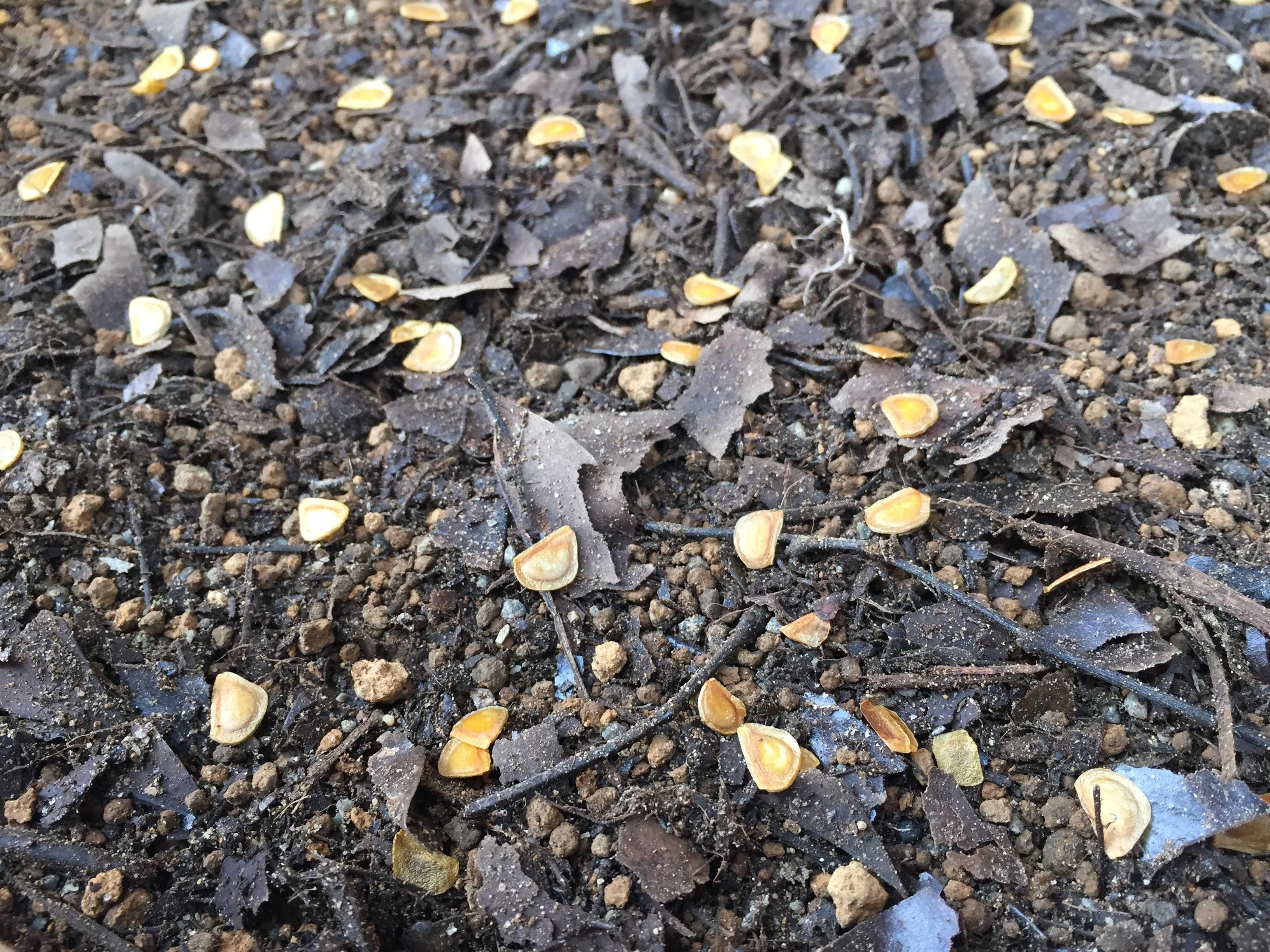 ヤマユリの種子繁殖/実生 - 播かれたヤマユリの種子