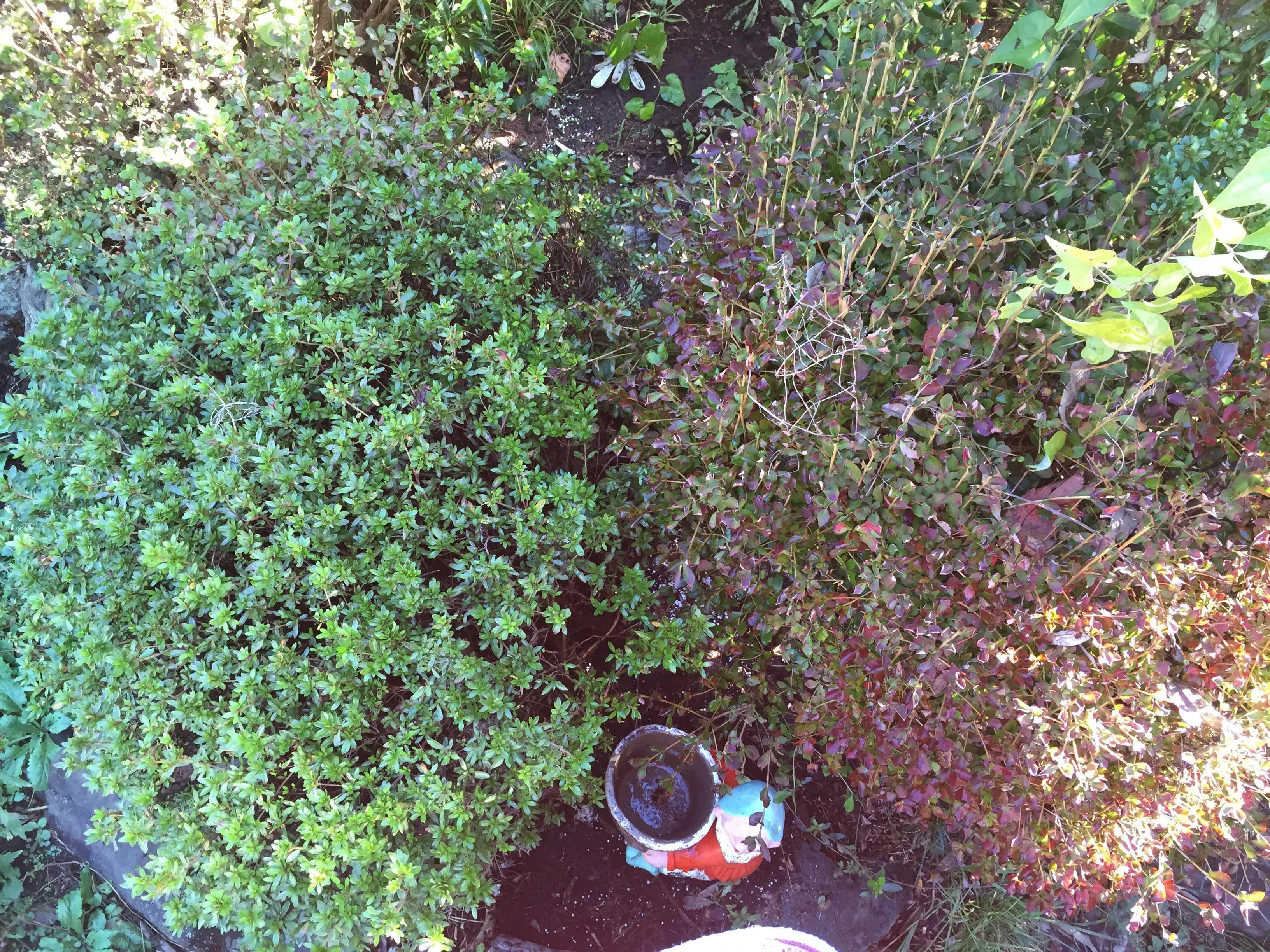 サツキの植え込み - やまゆりの球根の植え付け