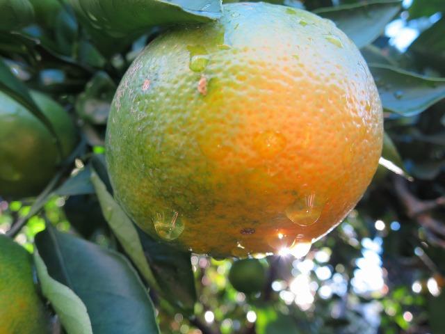 オレンジと滴る雫