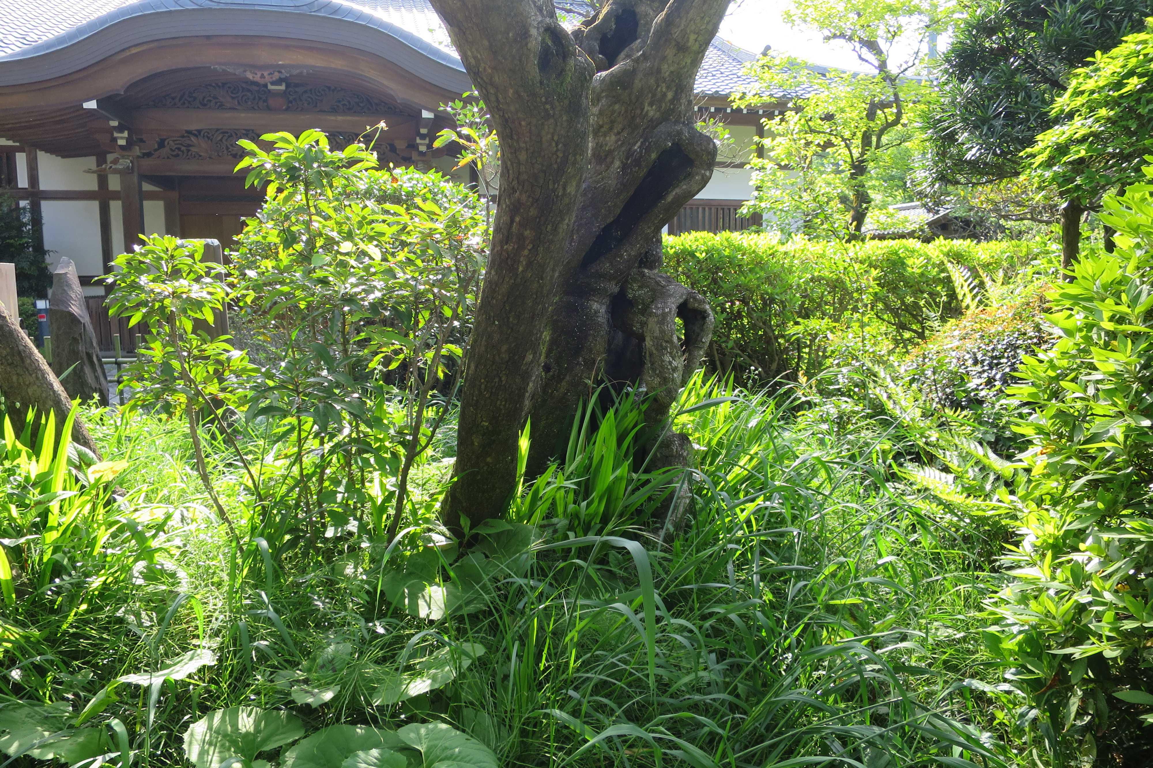 禅寺丸の原木の幹