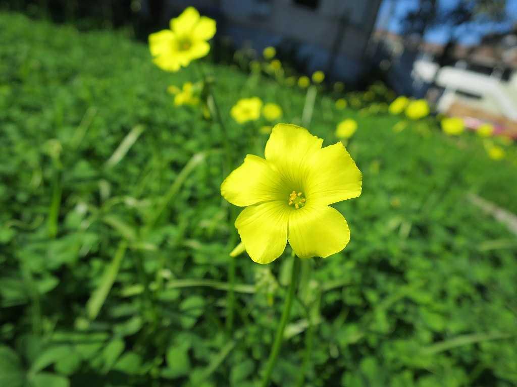 サンノゼ - 素敵な黄色い花