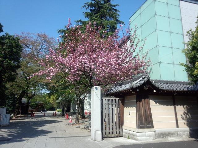 靖国神社の八重桜