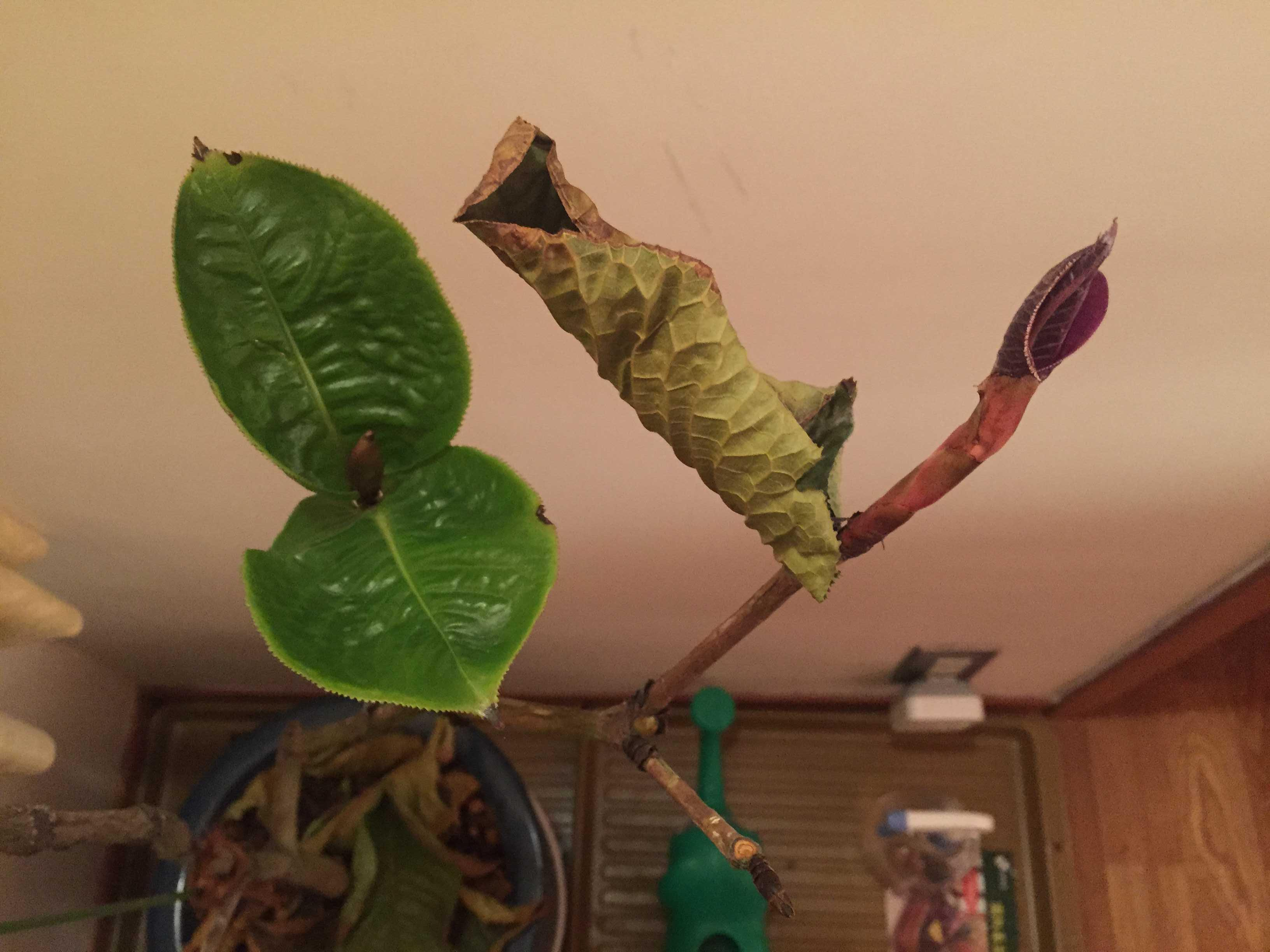 原種椿「ムラウチイ」の葉っぱ