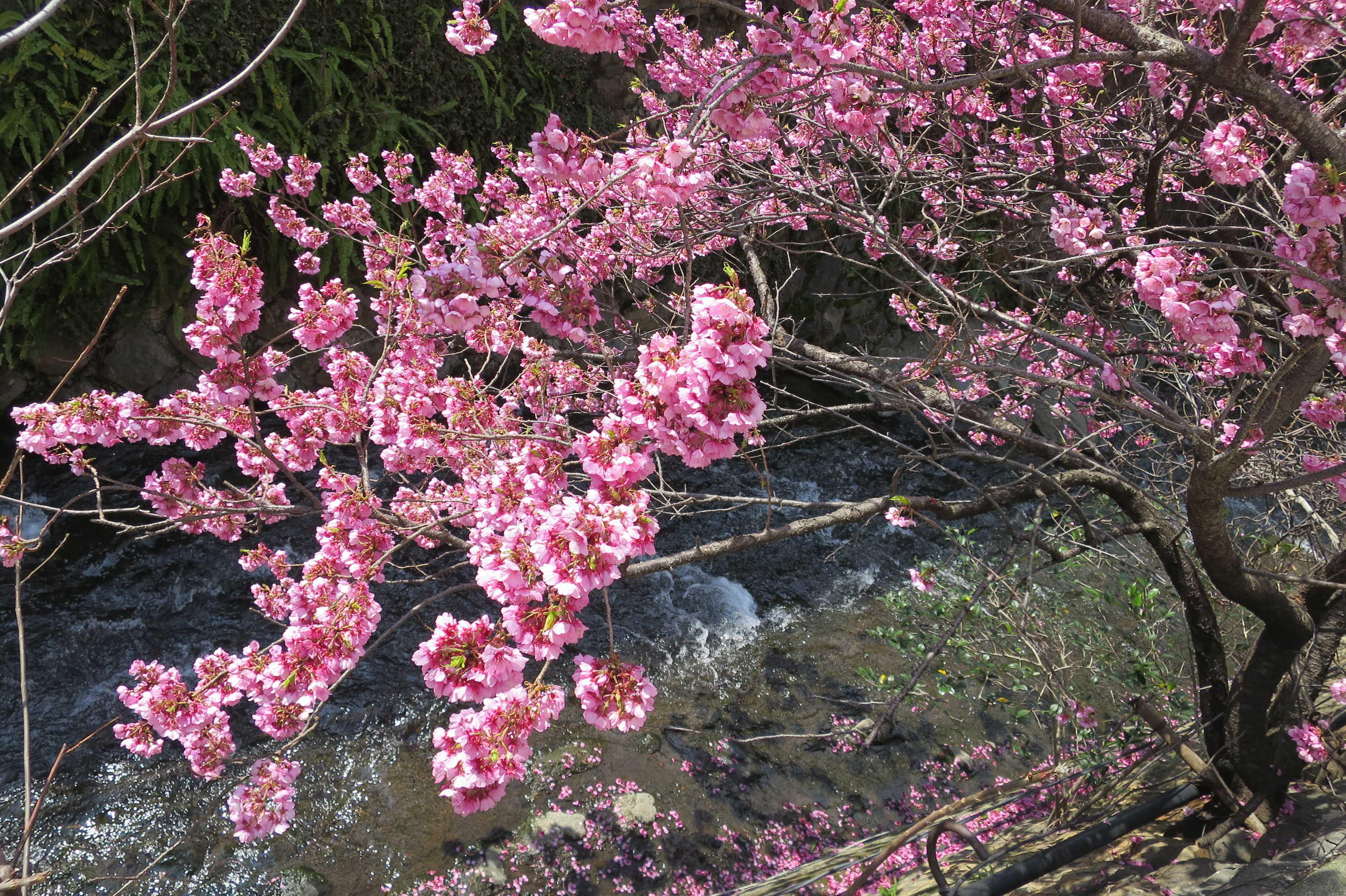 熱海 - アタミザクラ(あたみ桜)満開
