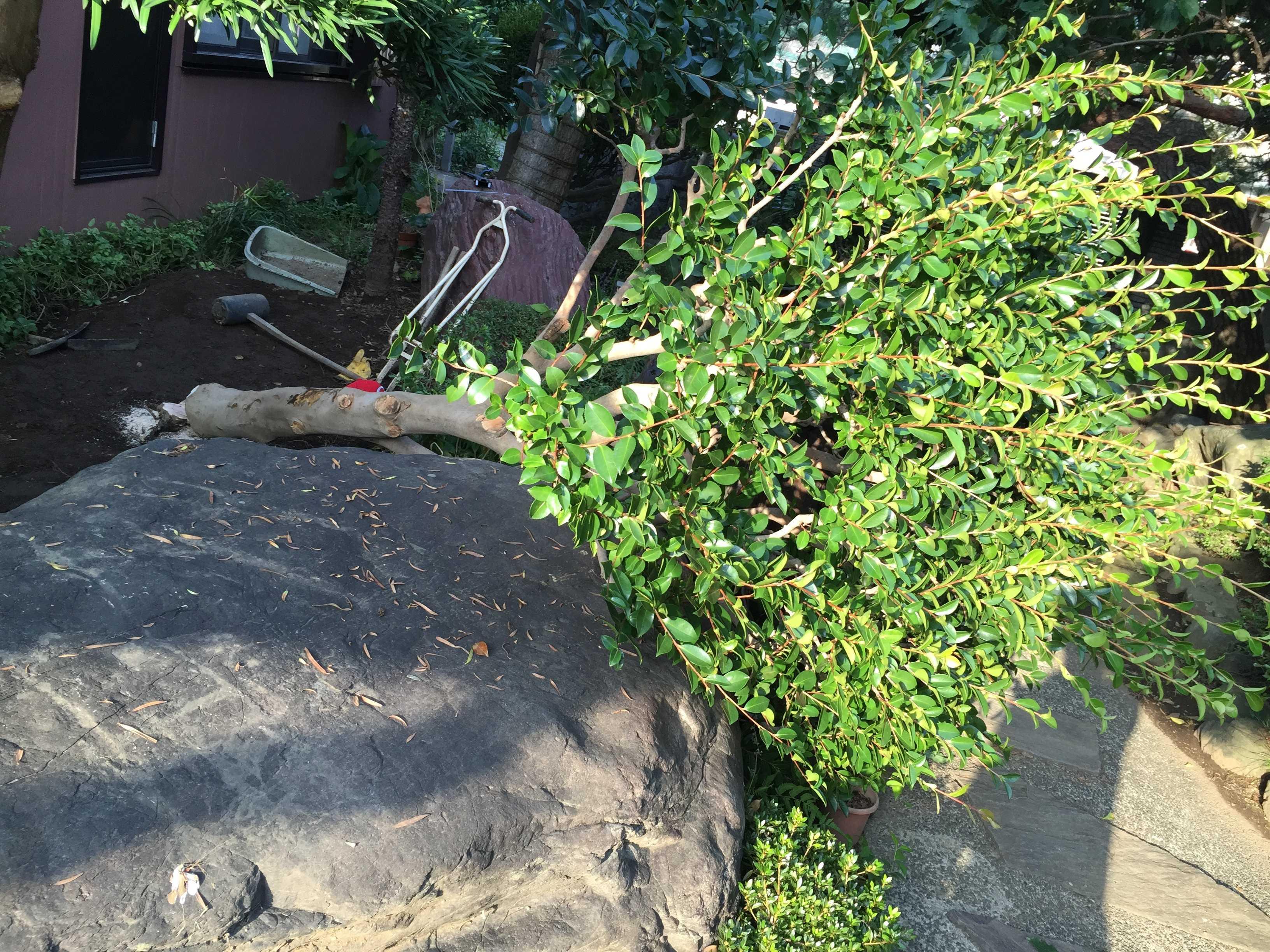倒れた椿の木