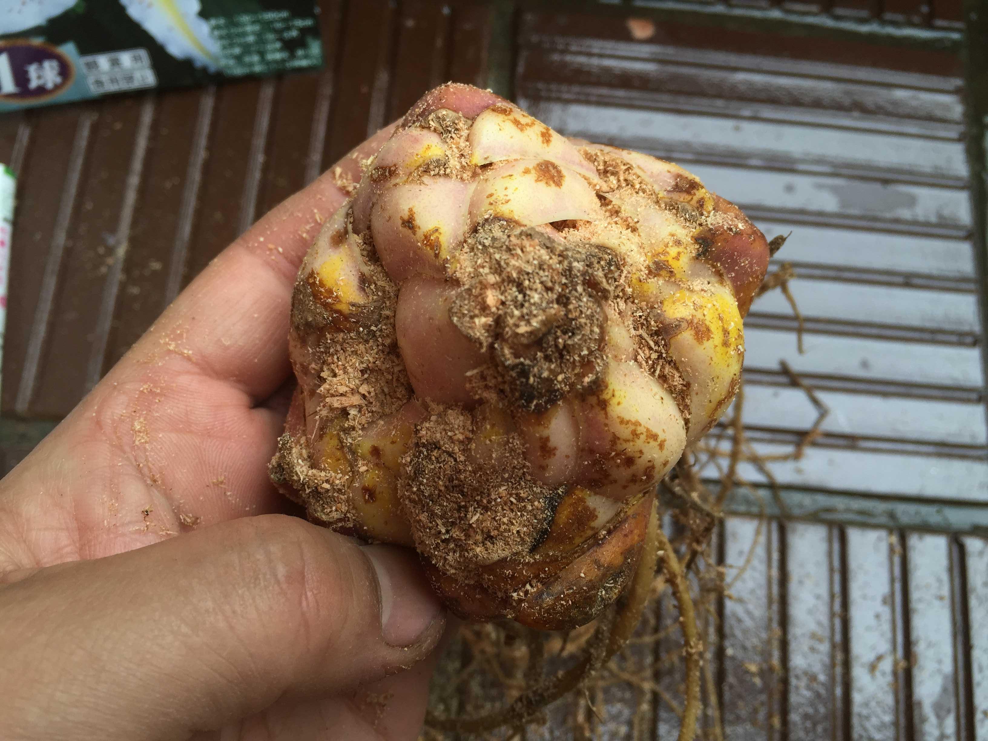 ヤマユリの鱗片挿し - 上から見たヤマユリの球根