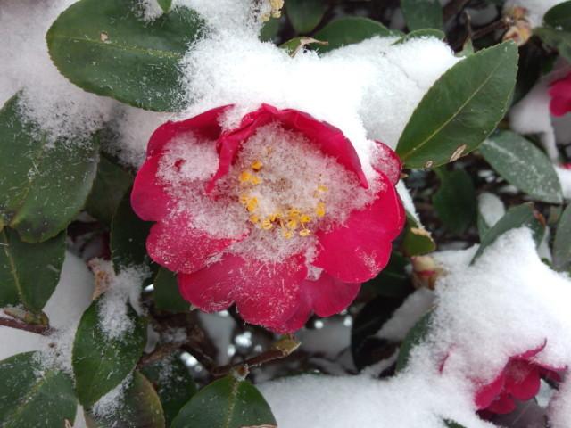 雪に埋もれるサザンカ(山茶花)