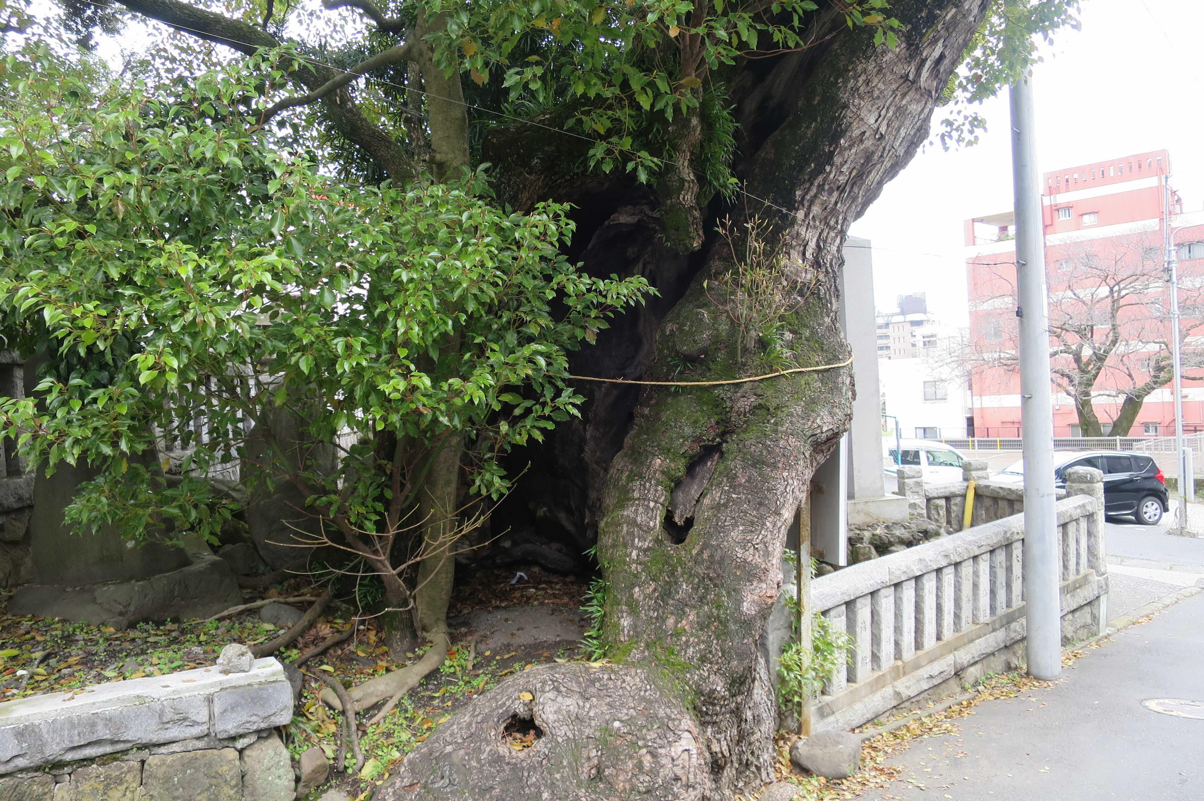 熱海 - 湯前神社の樟