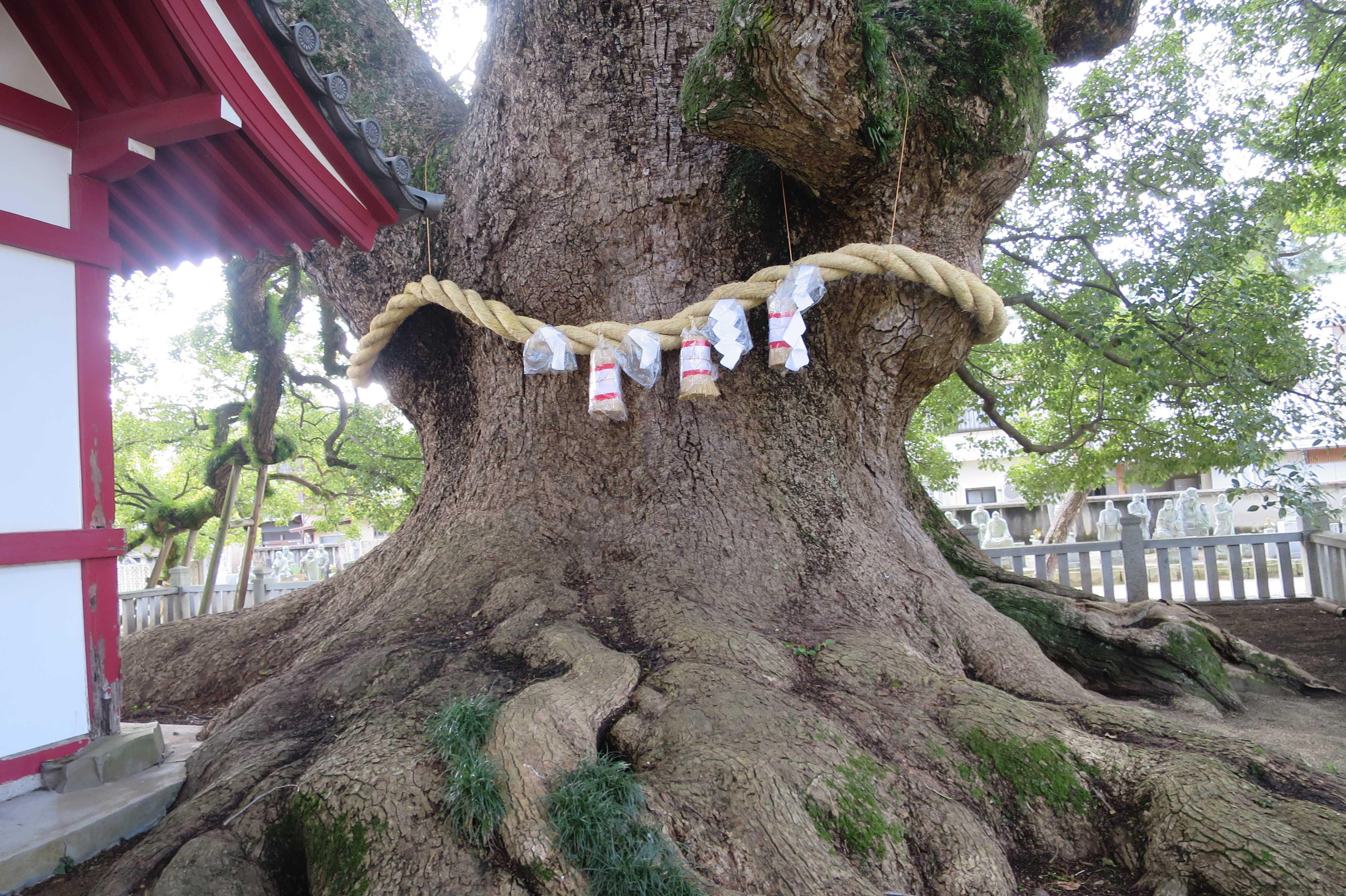 香川県天然記念物「善通寺境内の大楠」