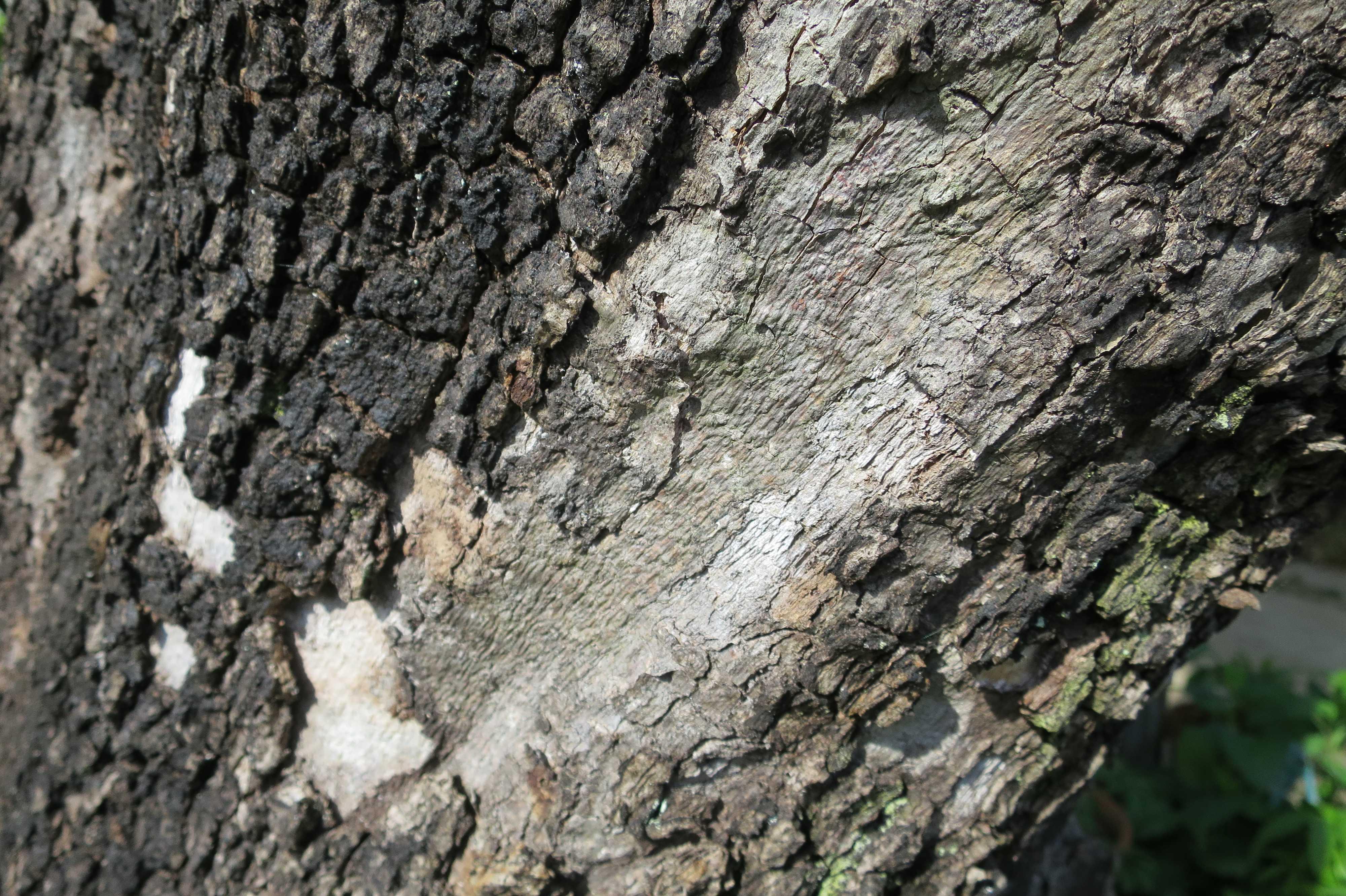 岡上のカキノキの樹皮