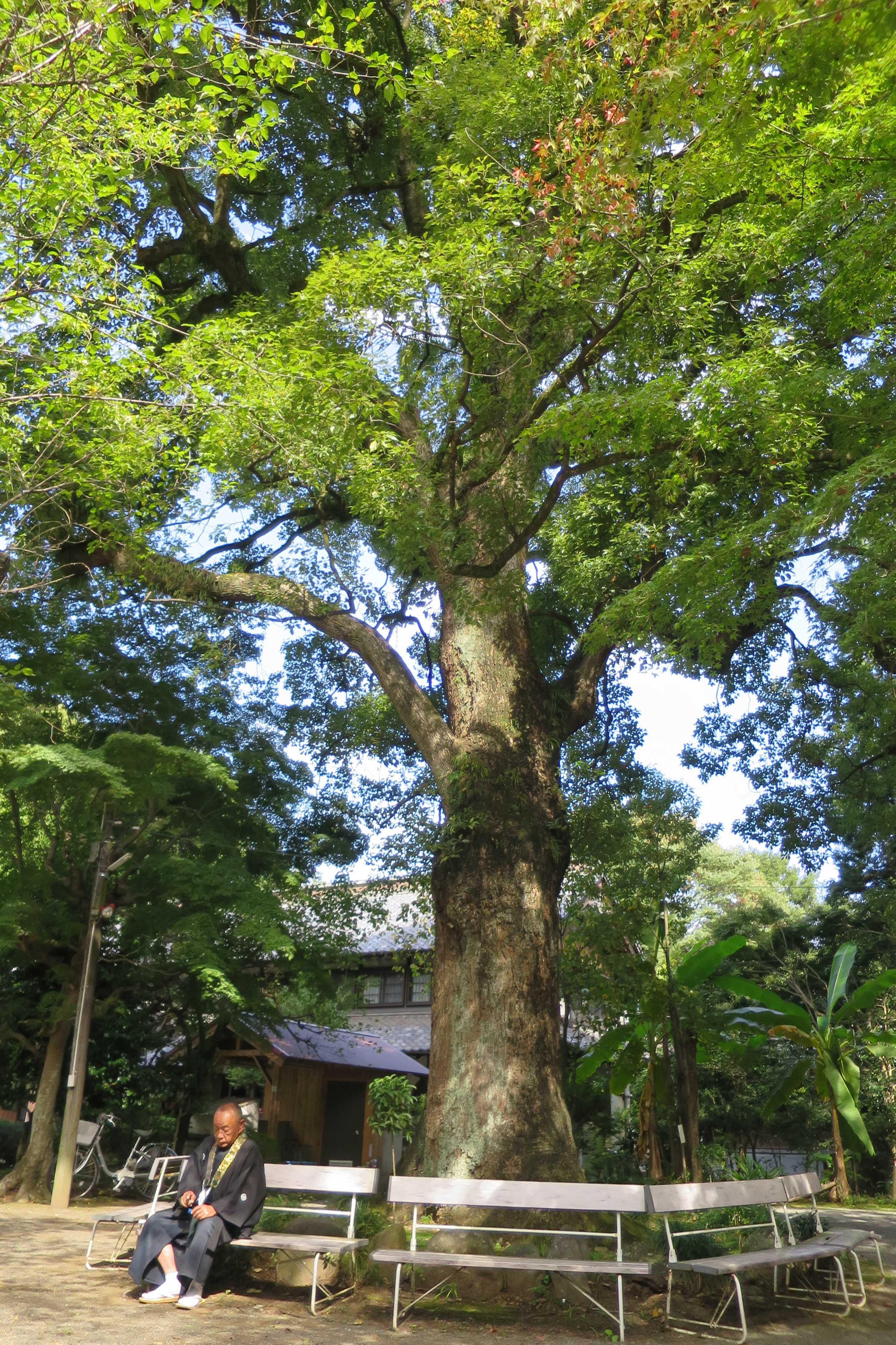 無量光寺 - 本堂横の大樹